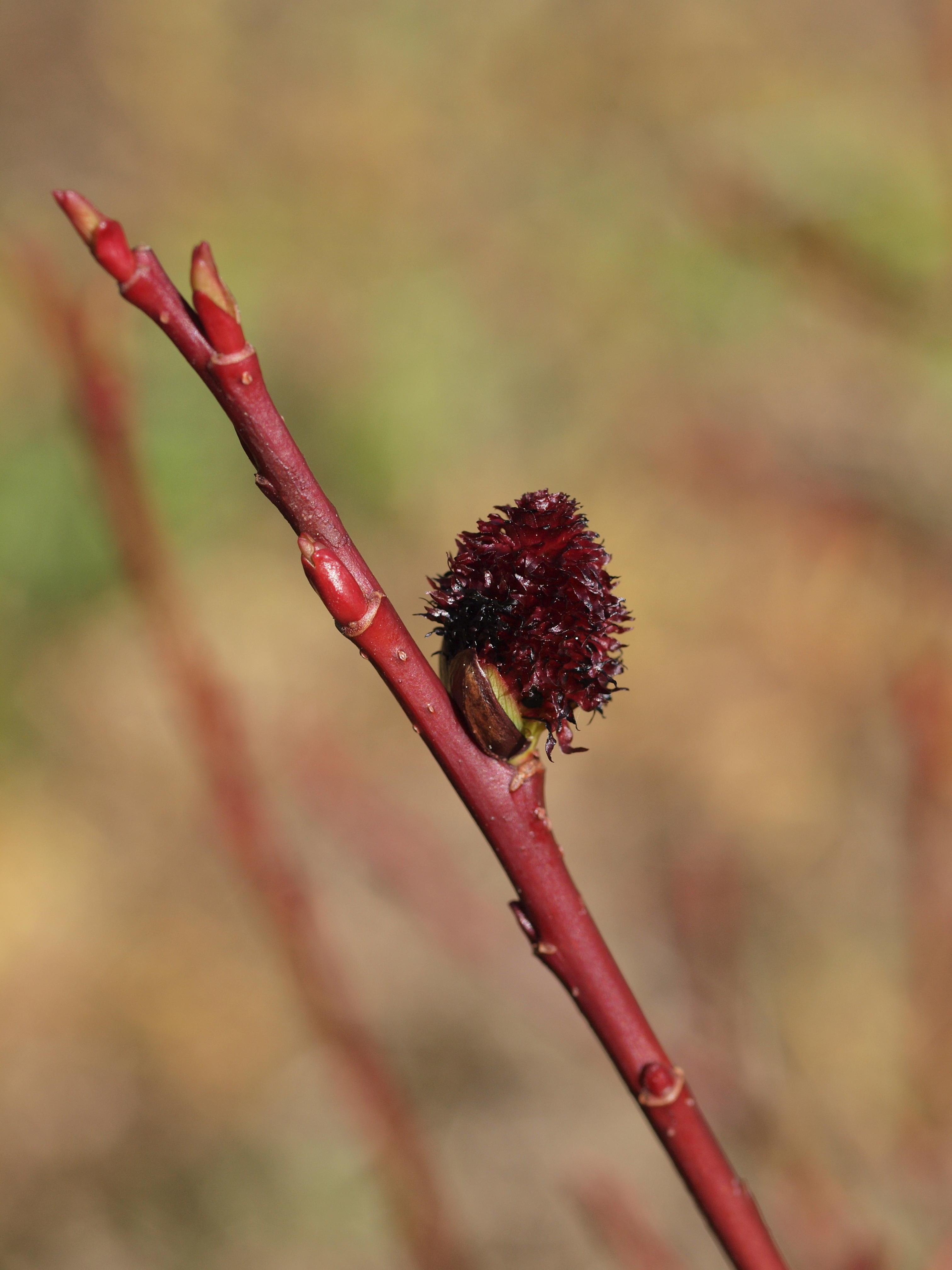 This should be Salix-melanostachys-1.jpeg.  Is it missing?