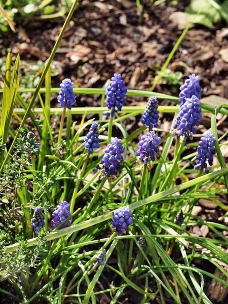 Hyacinth.jpeg