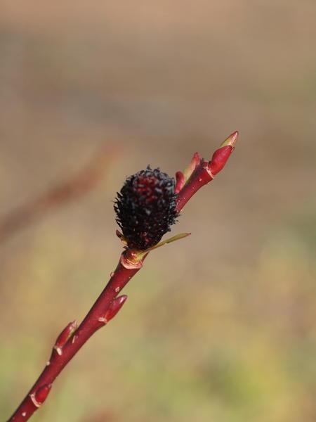 Salix-melanostachys-2.jpeg