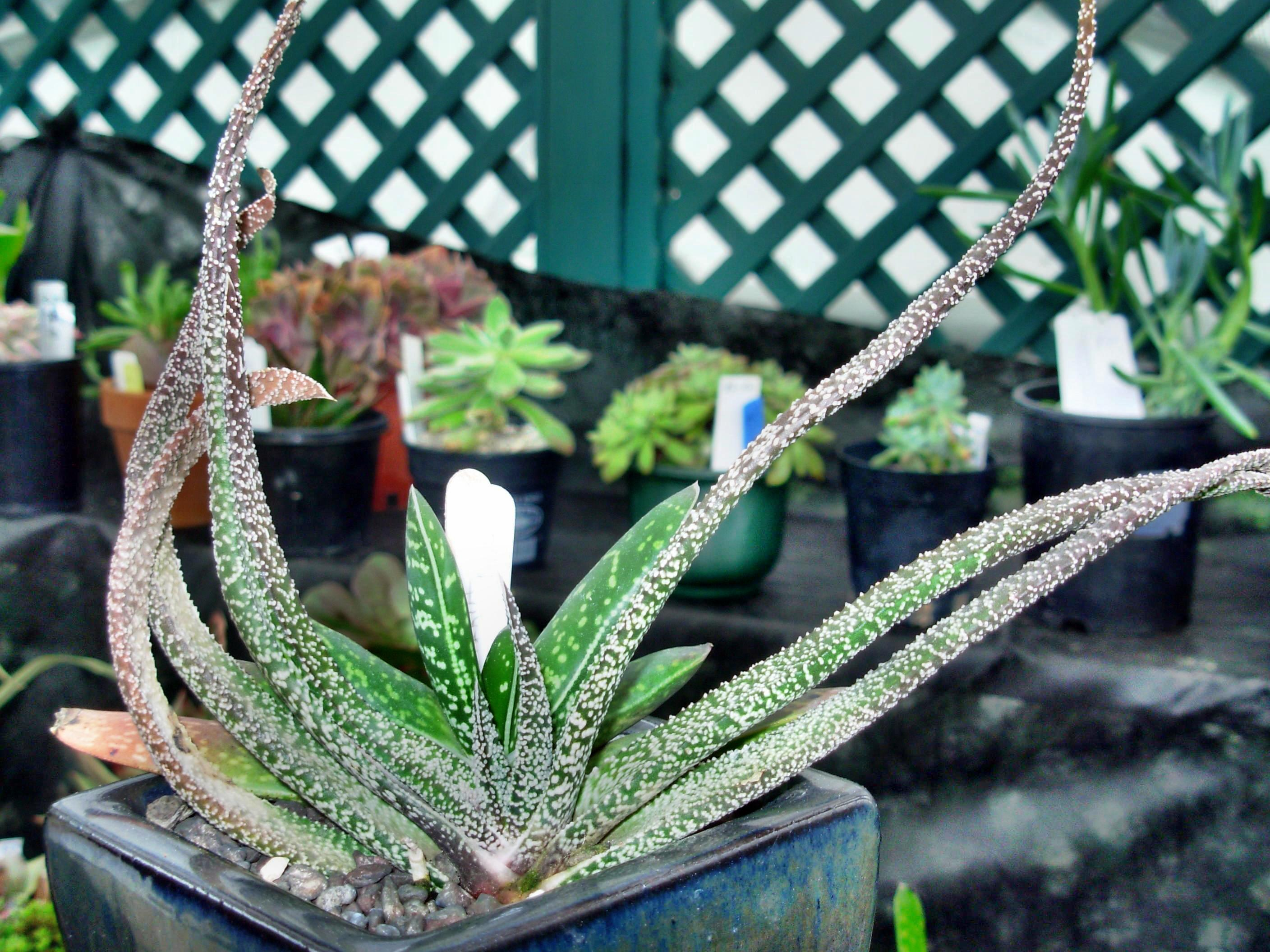This should be Gasteria-1.jpeg.  Is it missing?