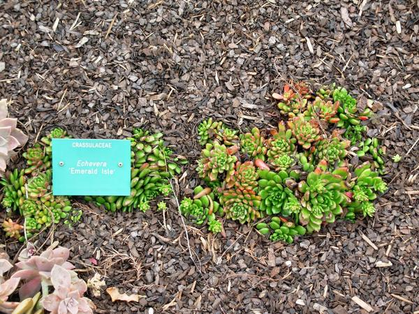 Echeveria-Emerald-Isle.jpeg