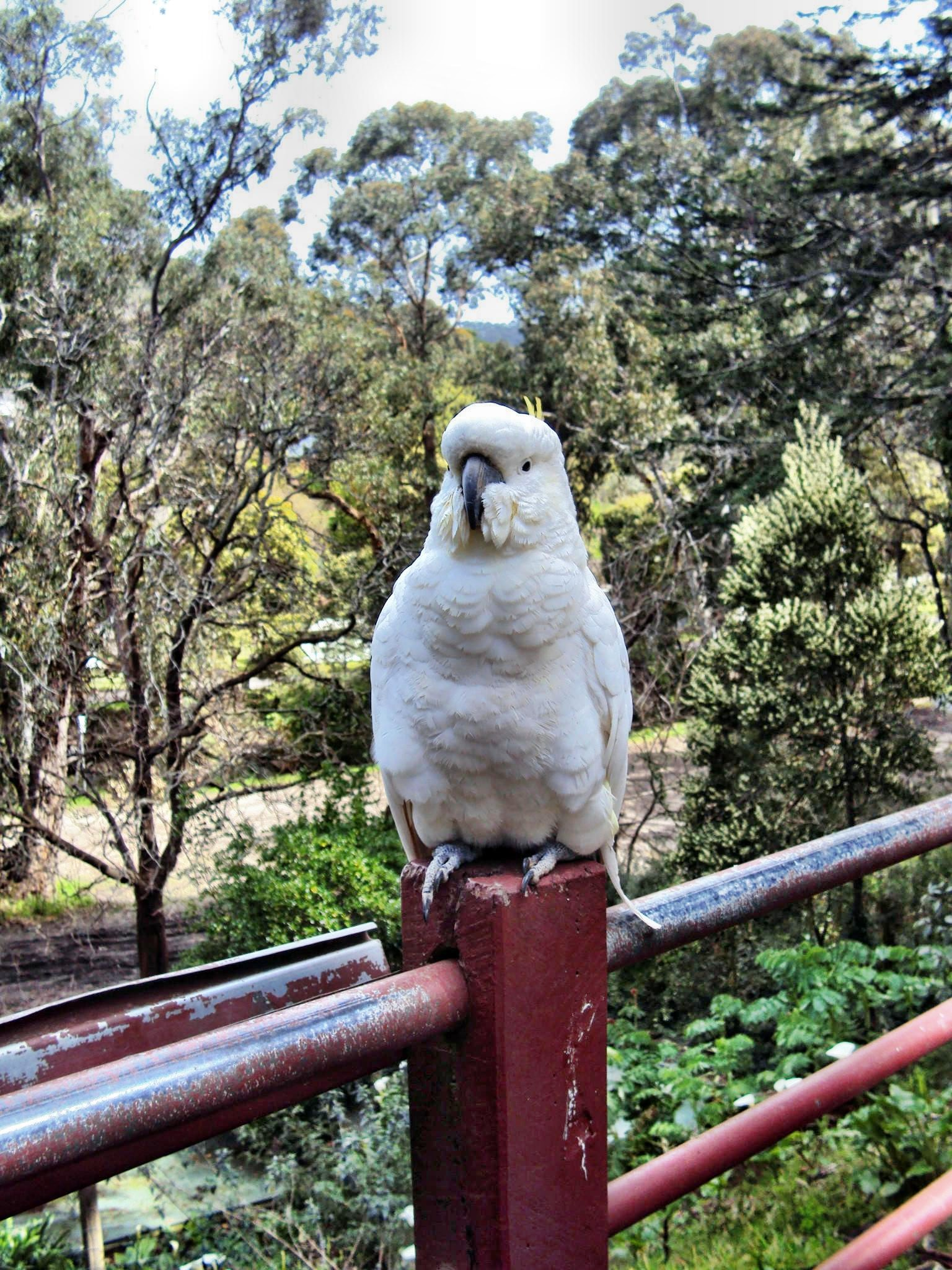 This should be Cockatoo-1.jpeg.  Is it missing?