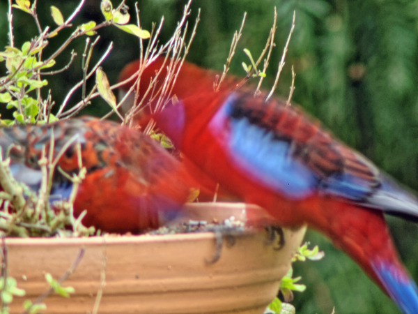 Rosellas-10.jpeg
