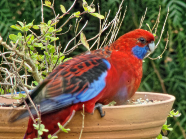 Rosellas-13.jpeg