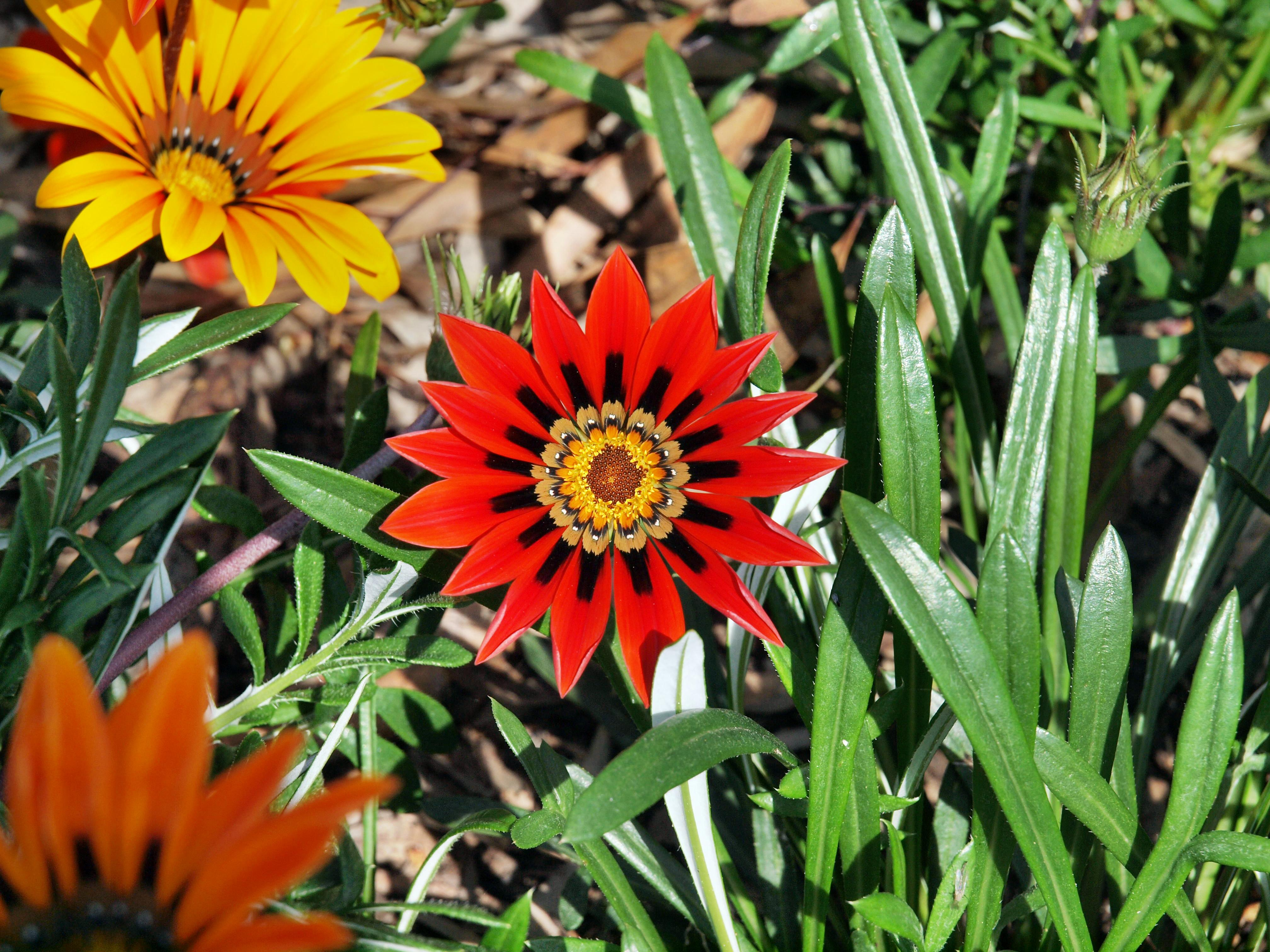This should be Gazania-3.jpeg.  Is it missing?