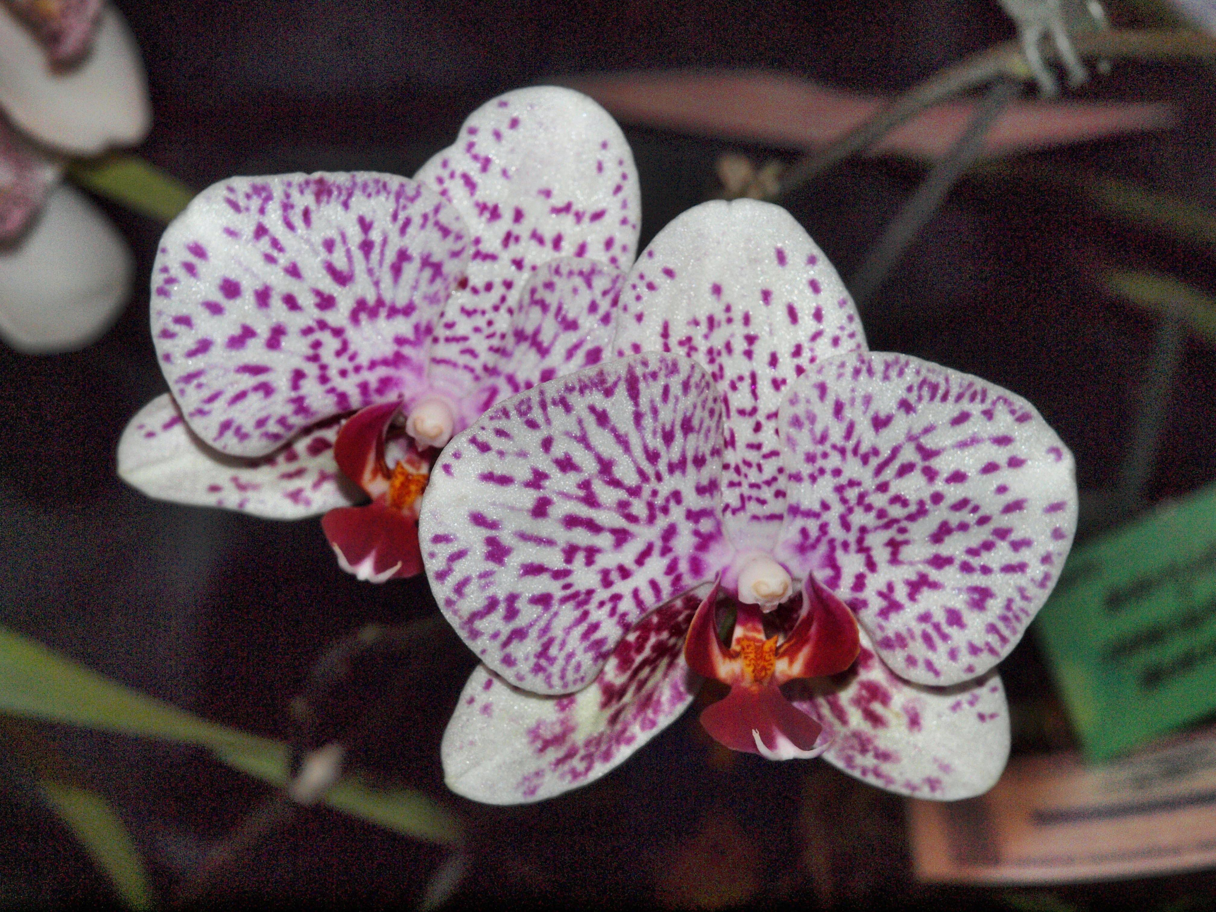 Orchid-34.jpeg