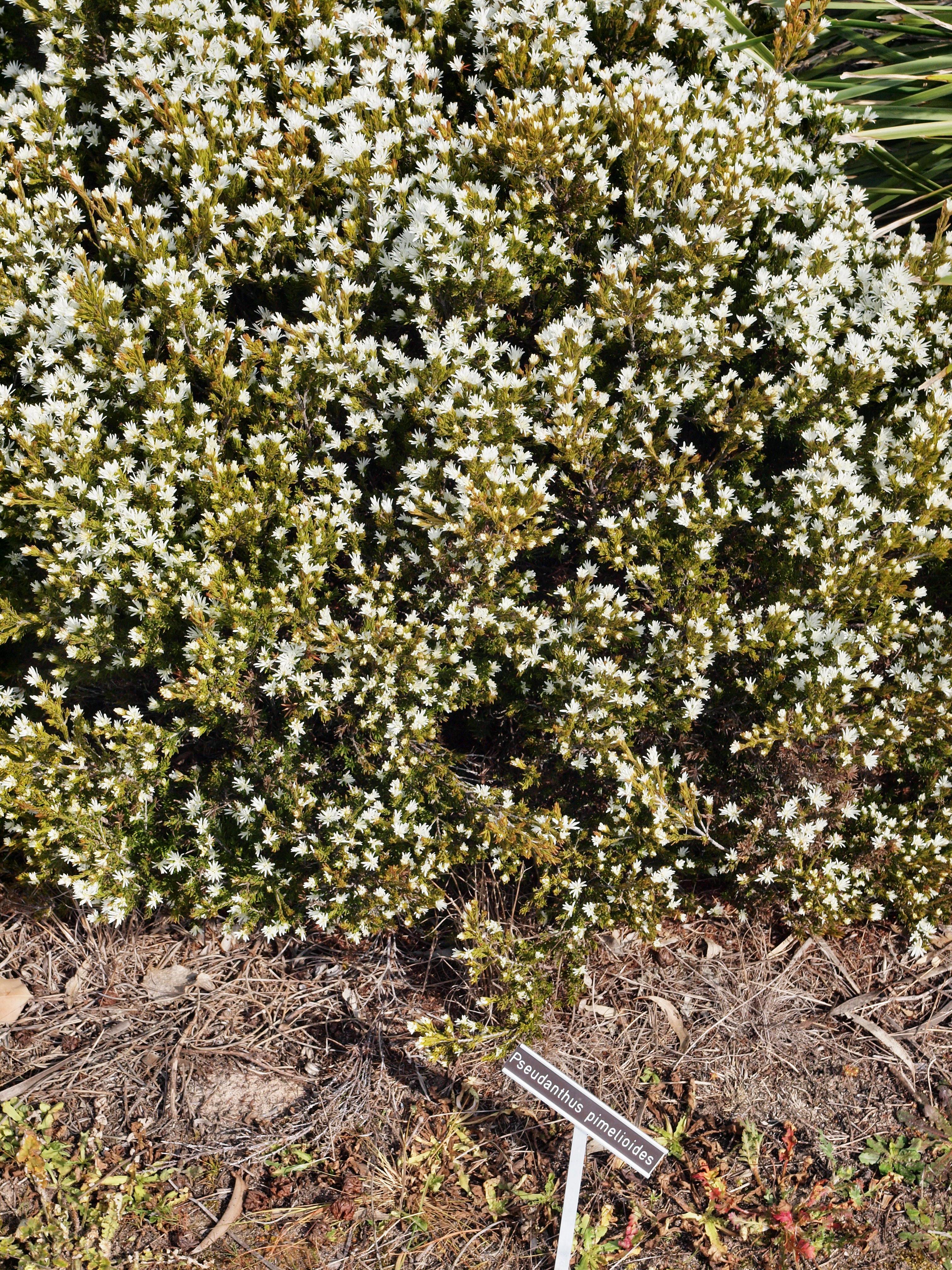 Pseudanthus-pimeloides.jpeg