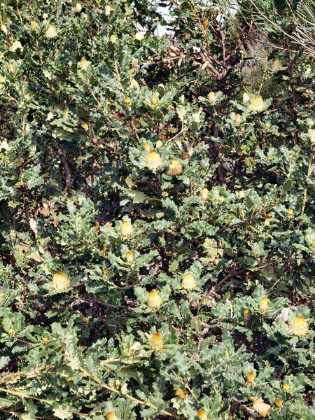 Banksia-1.jpeg