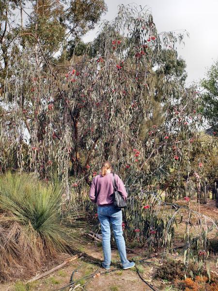 Eucalyptus-Caesia-1.jpeg