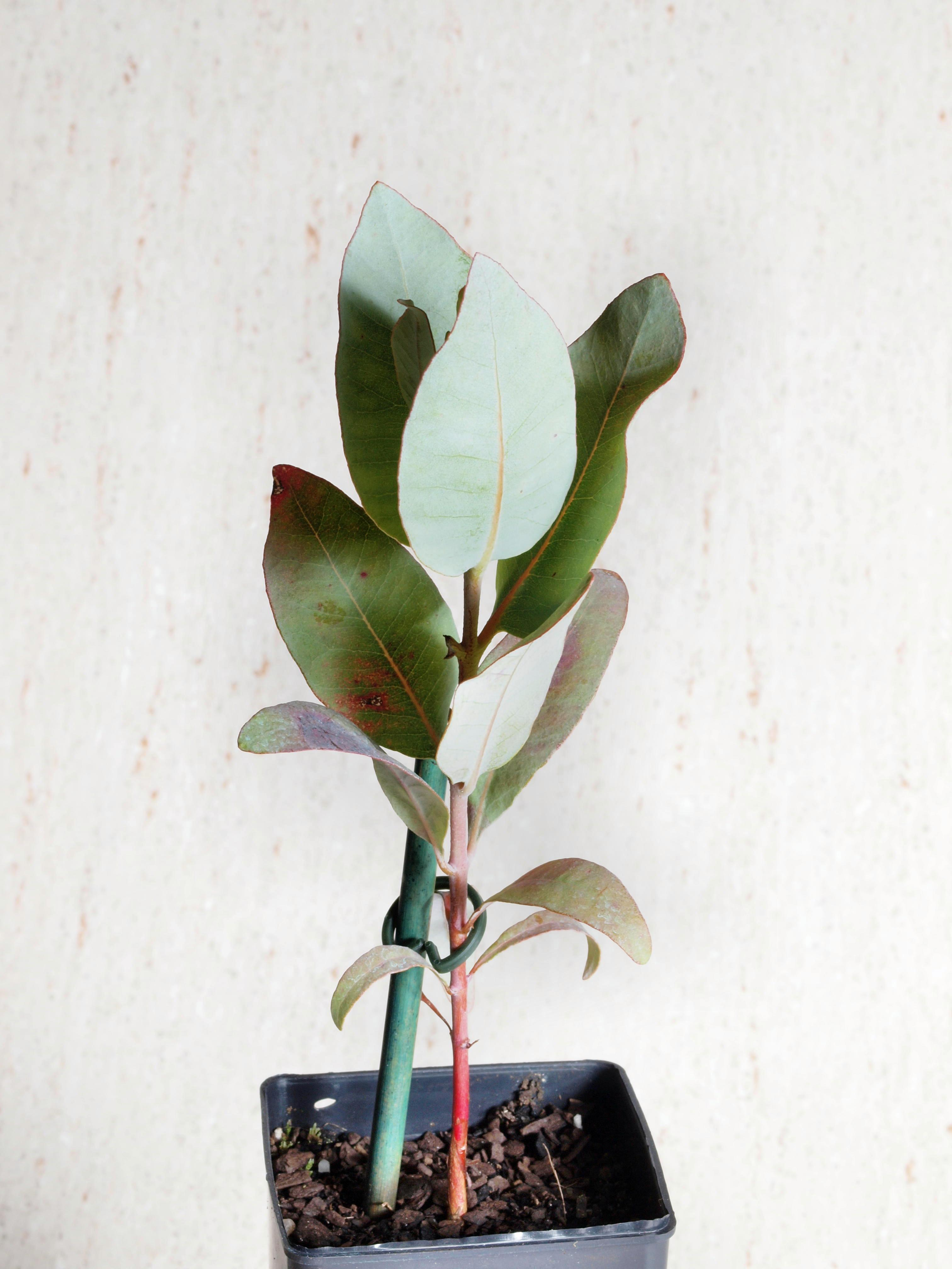 Eucalyptus-macrocarpa.jpeg