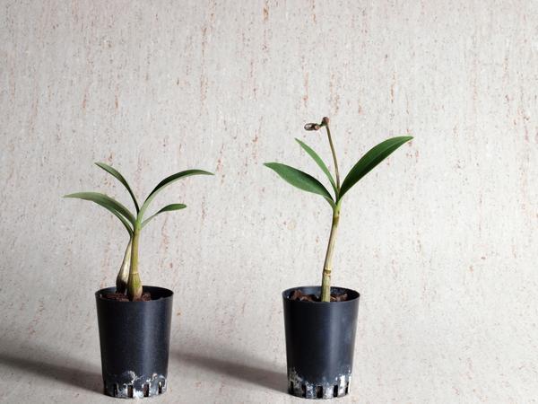 Dendrobiums.jpeg