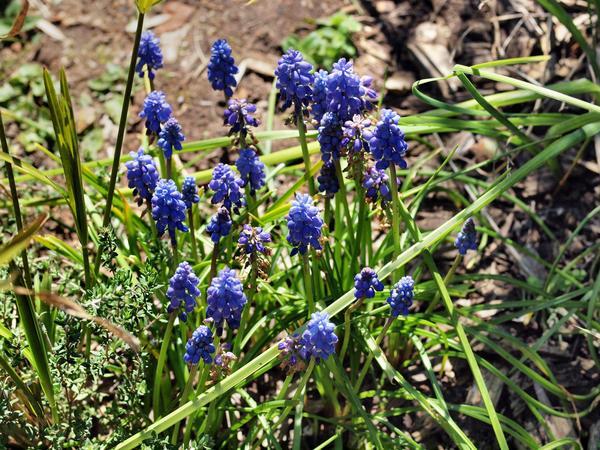 Grape-hyacinth.jpeg