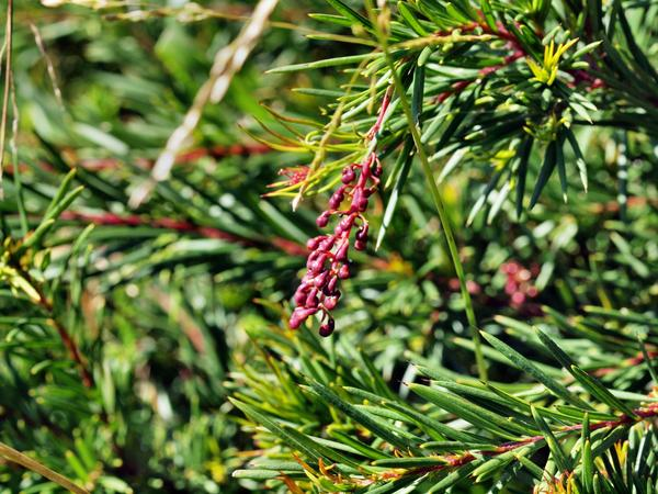 Grevillea-rosmarinifolia-1.jpeg