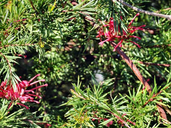 Grevillea-rosmarinifolia-3.jpeg