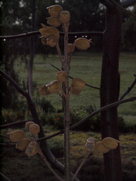 Paulownia-4-orig.jpeg
