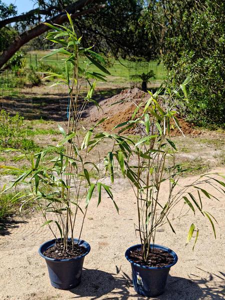 Bamboo-1.jpeg