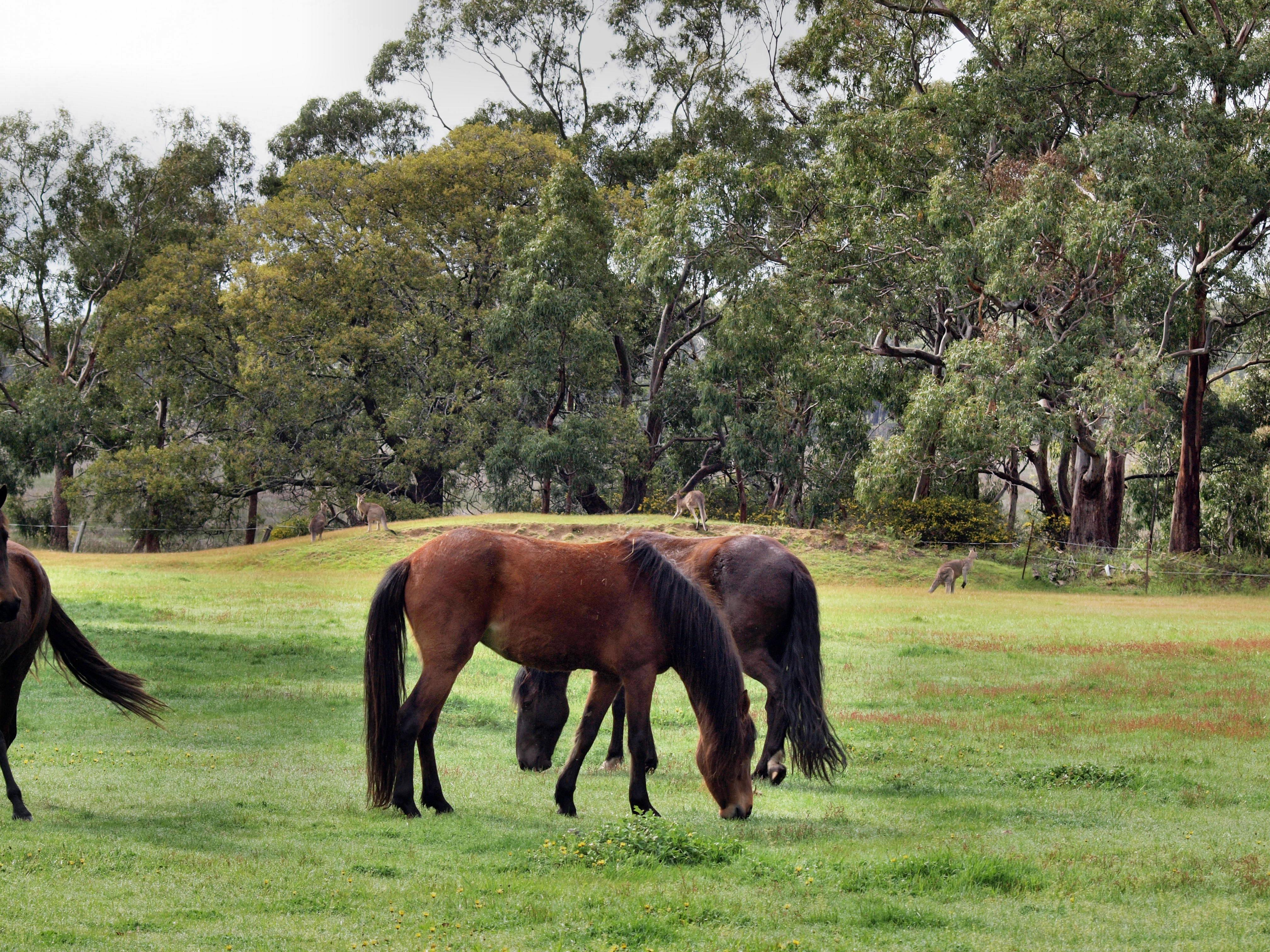 Horses-Kangaroos-4.jpeg