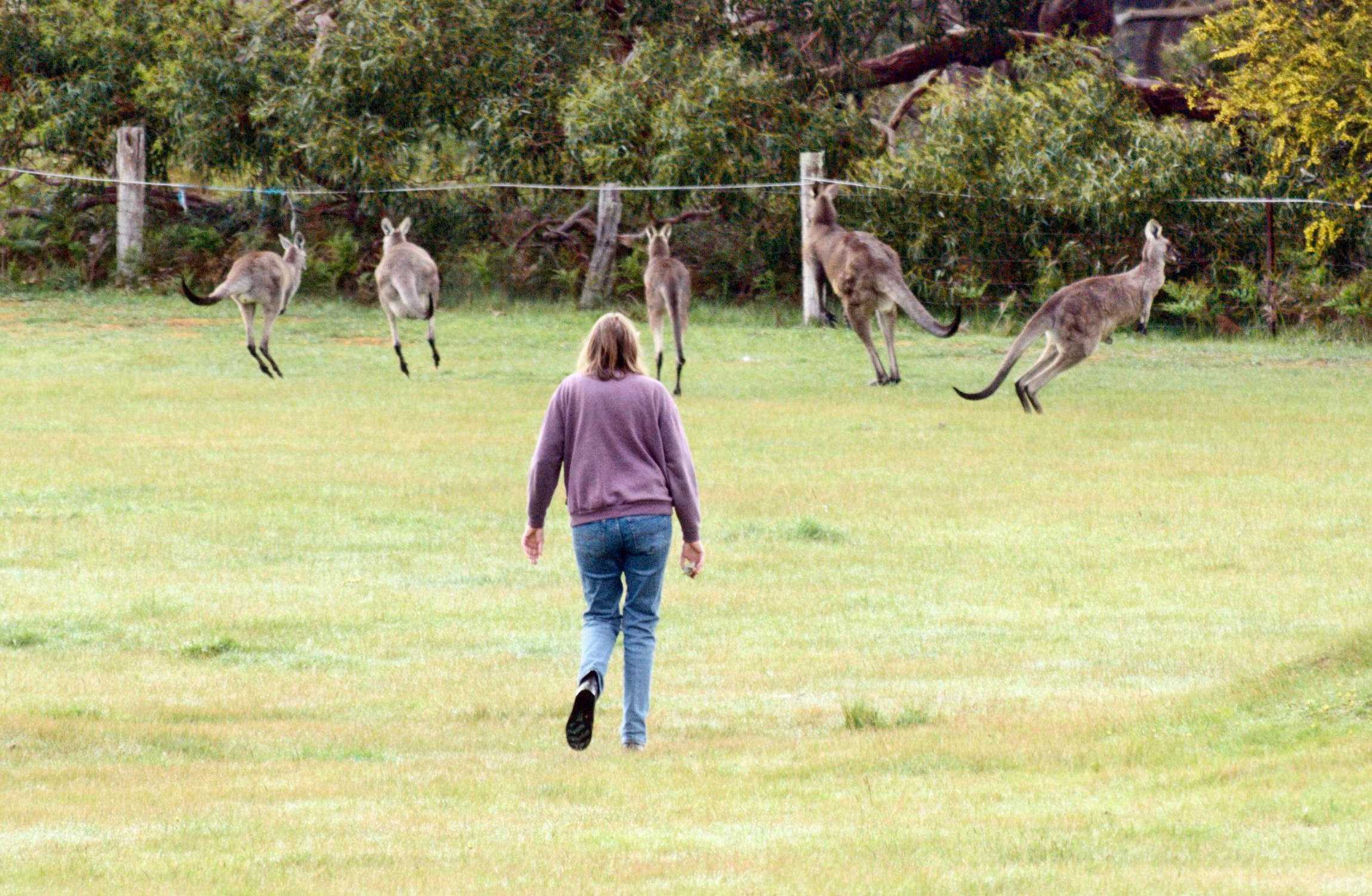 Kangaroos-11-detail.jpeg