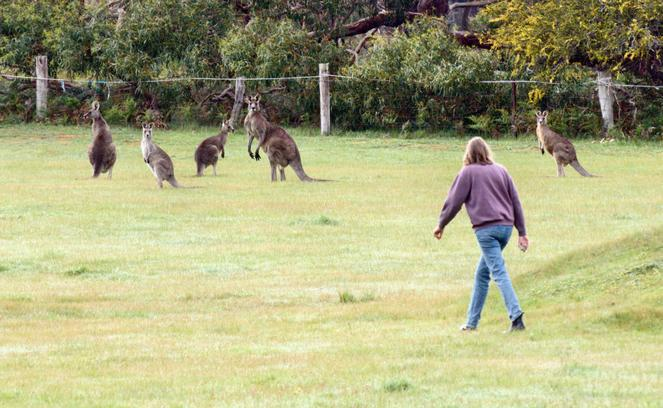 Kangaroos-8-detail.jpeg