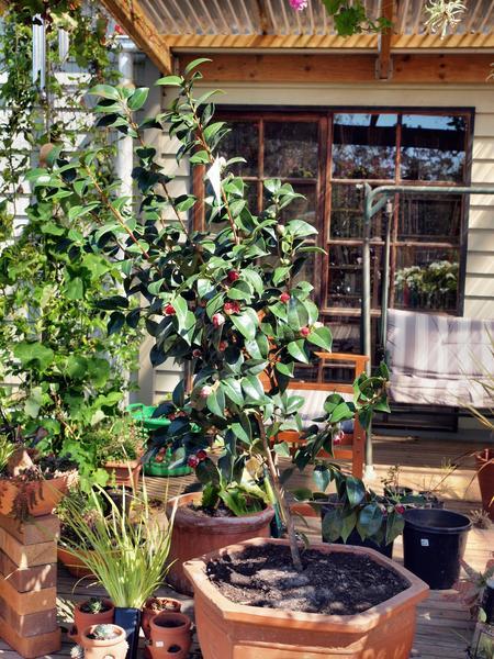 Camellia-before.jpeg