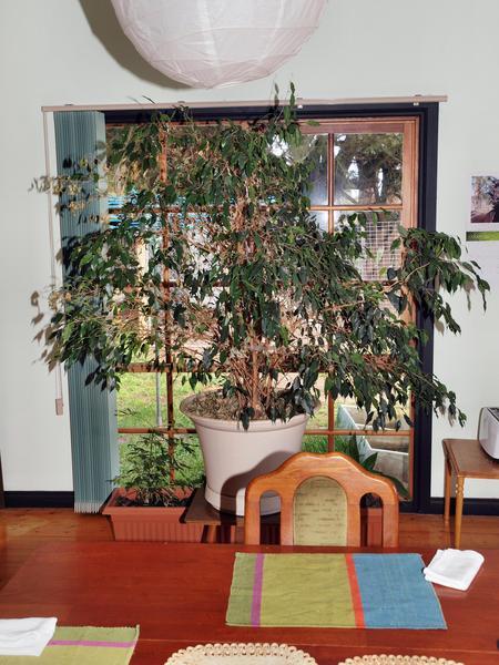 Ficus-benjamina.jpeg