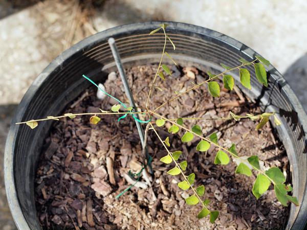 Curry-plant-1.jpeg