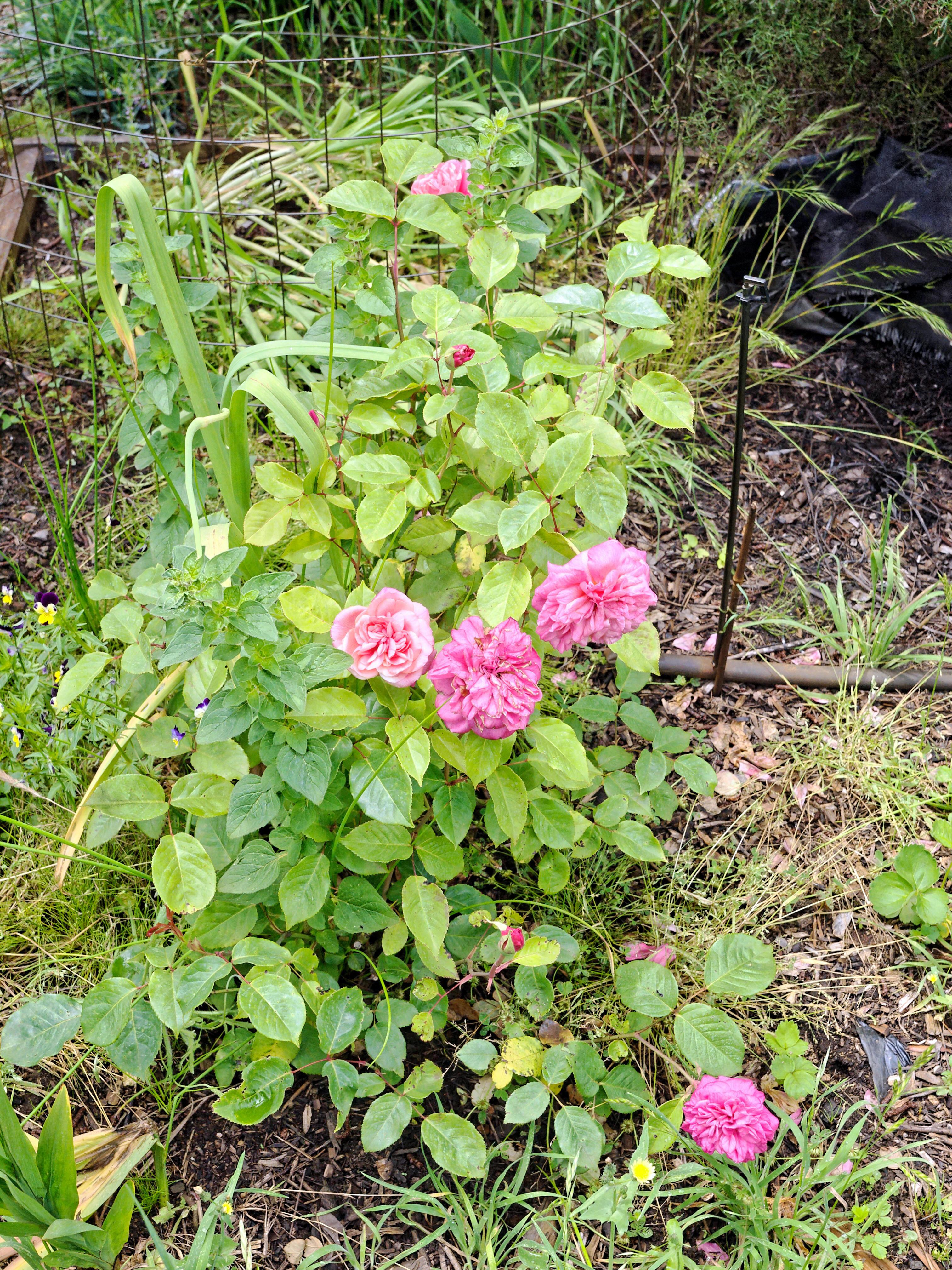 Rosa-Monsieur-Tillier-2.jpeg