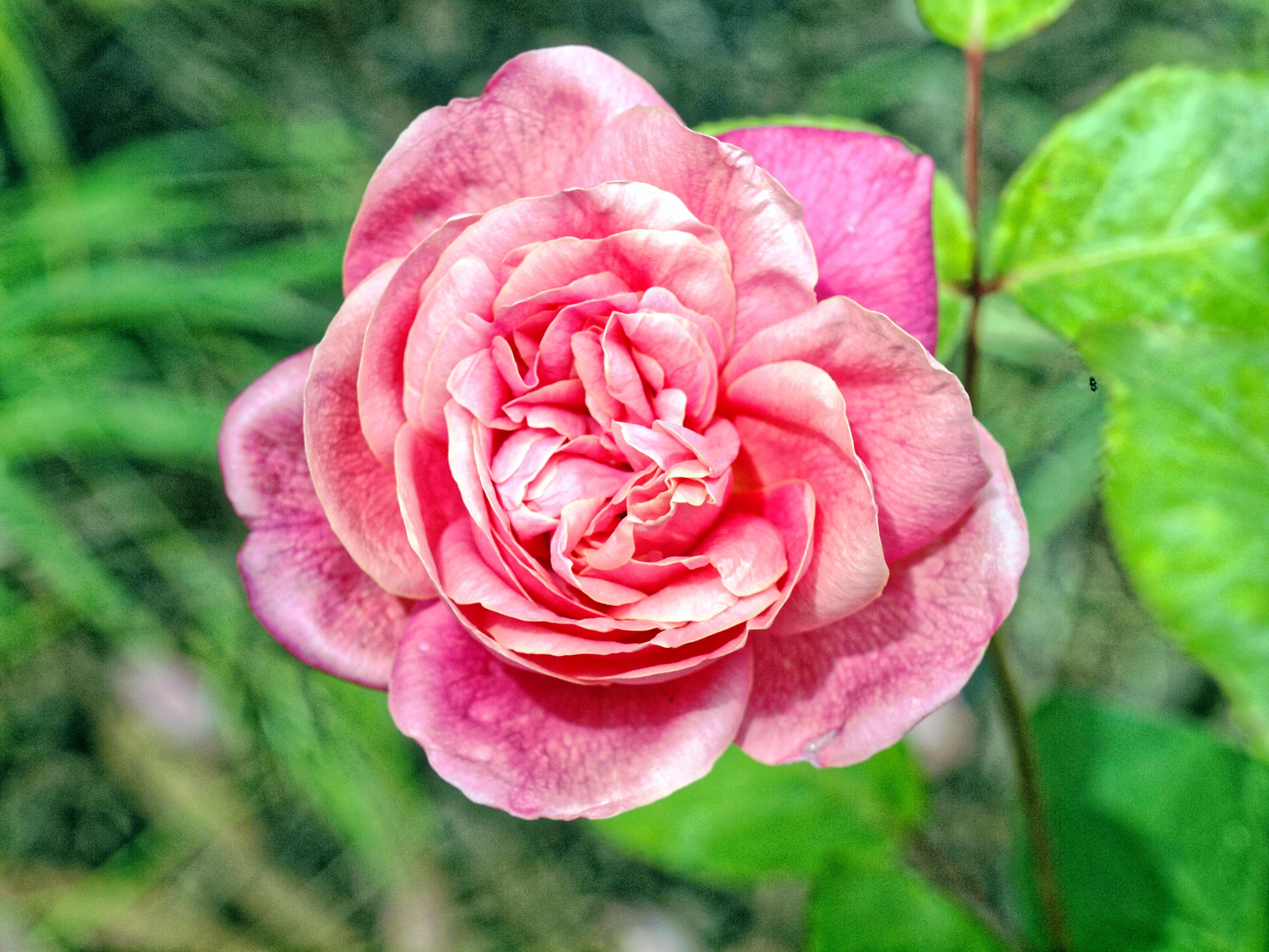 Rosa-Monsieur-Tillier-3.jpeg