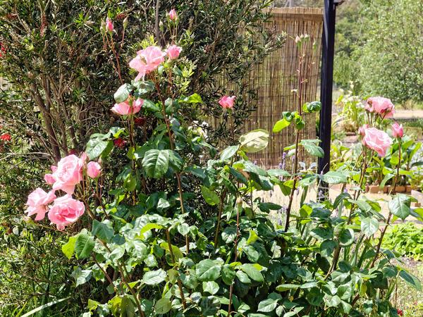 Rose-1.jpeg