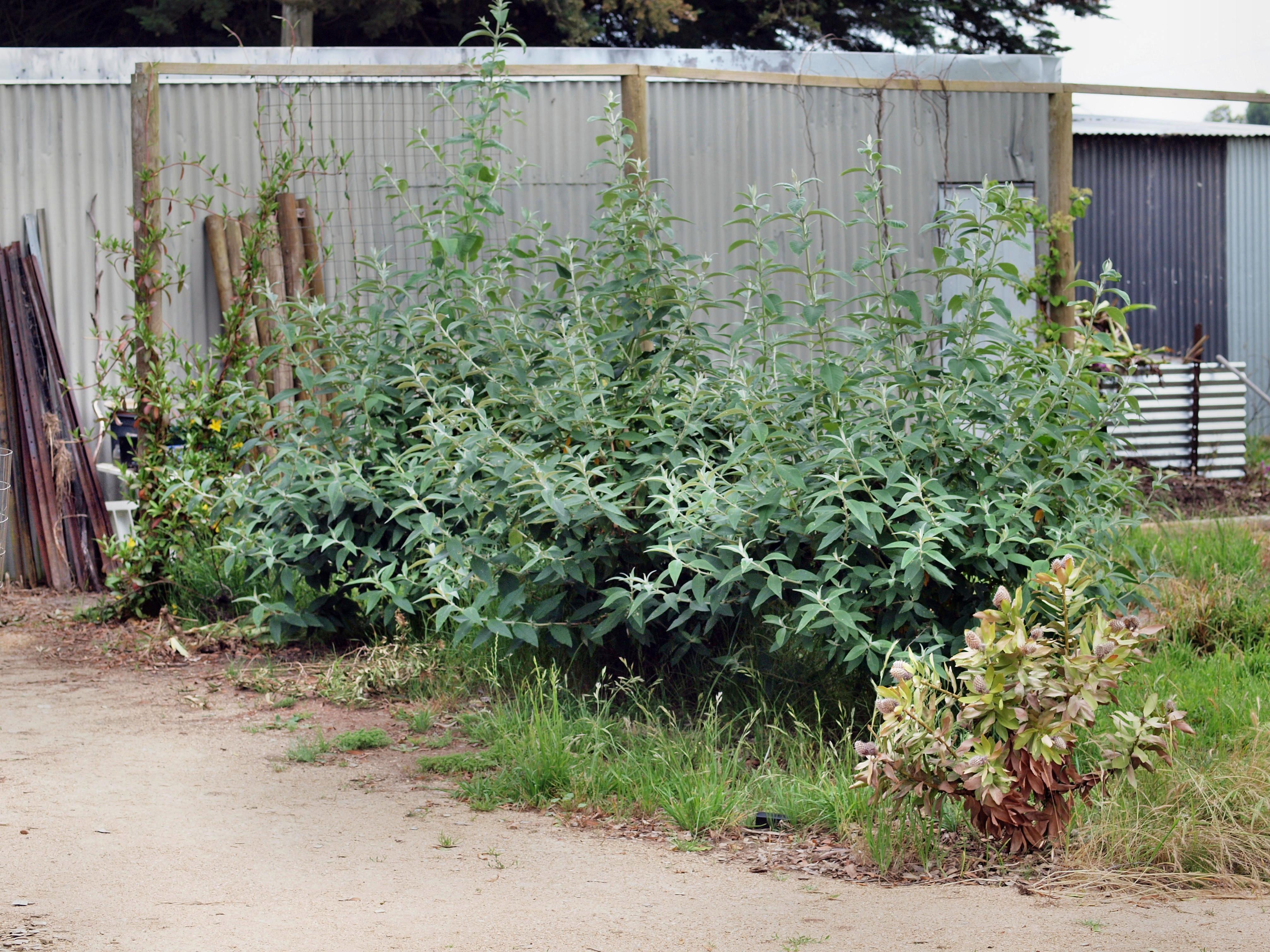 Leucospermum-3.jpeg