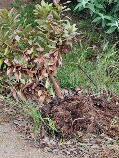 Leucospermum-4.jpeg