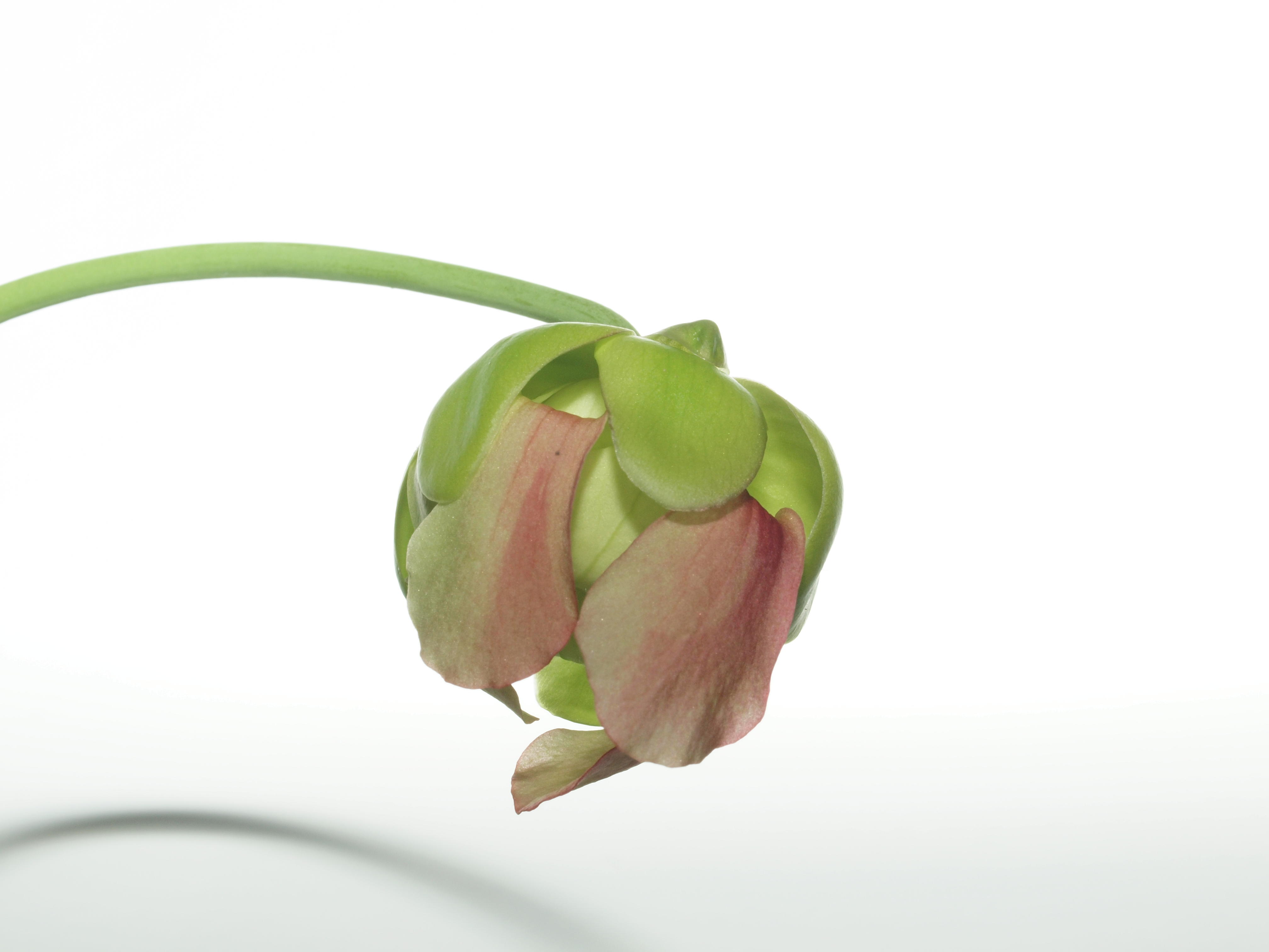 Sarracenia-2.jpeg