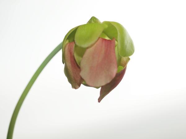 Sarracenia-1.jpeg