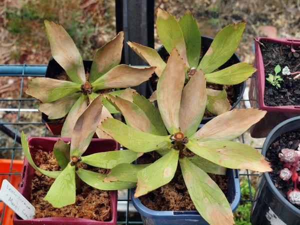Leucospermum.jpeg