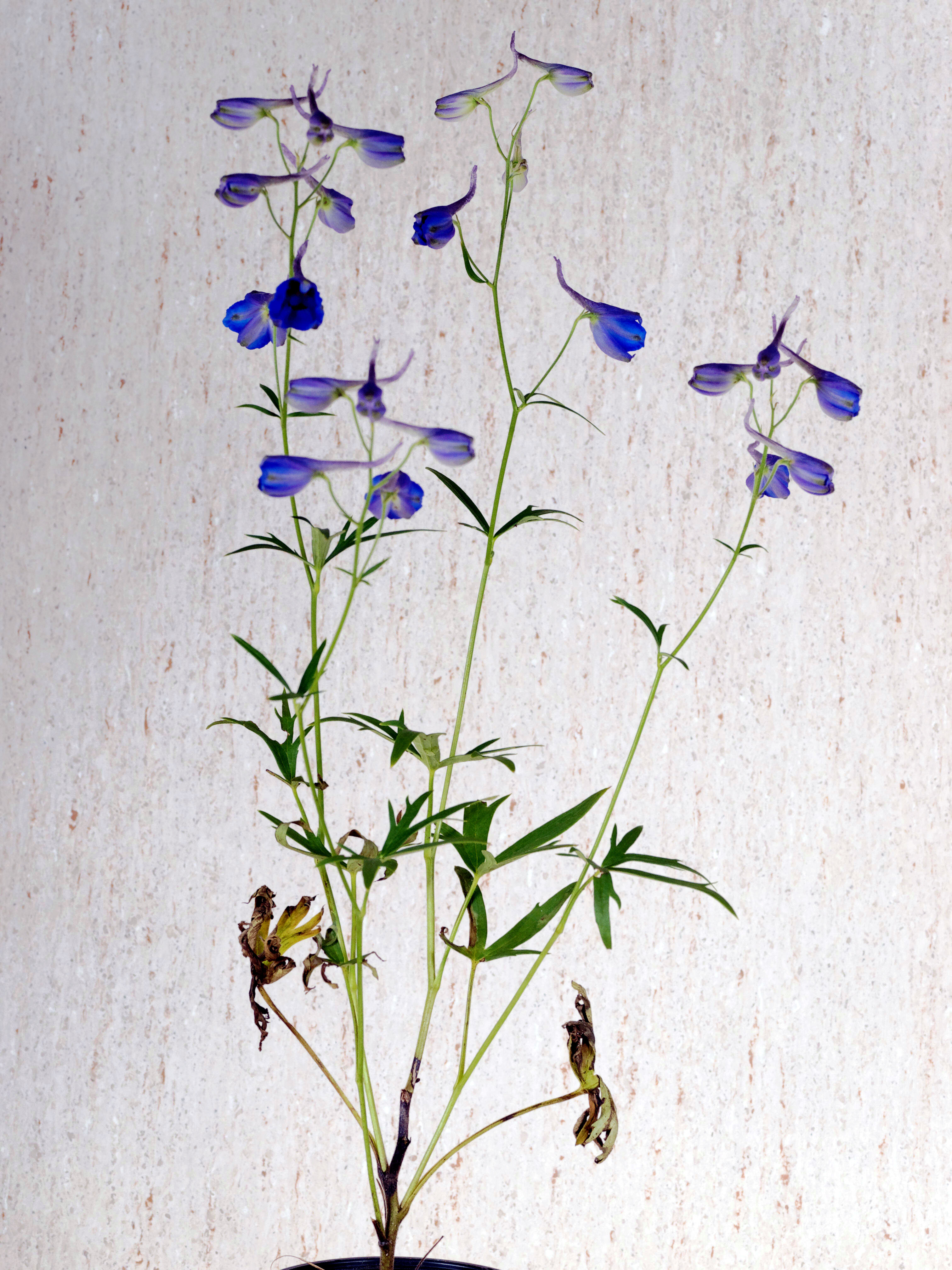 This should be Delphinium-1.jpeg.  Is it missing?