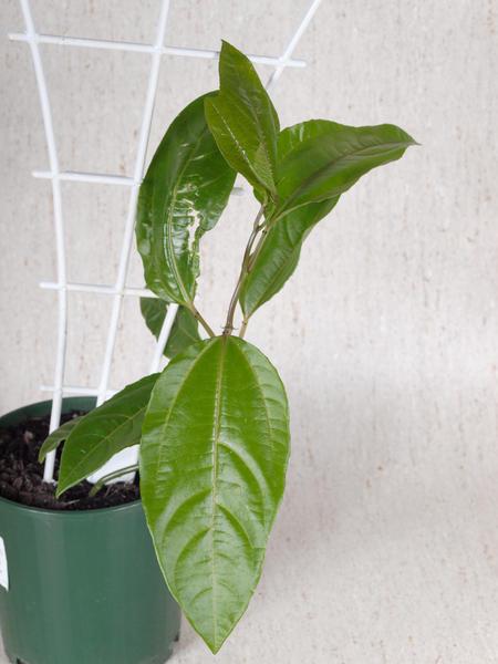 Passiflora.jpeg