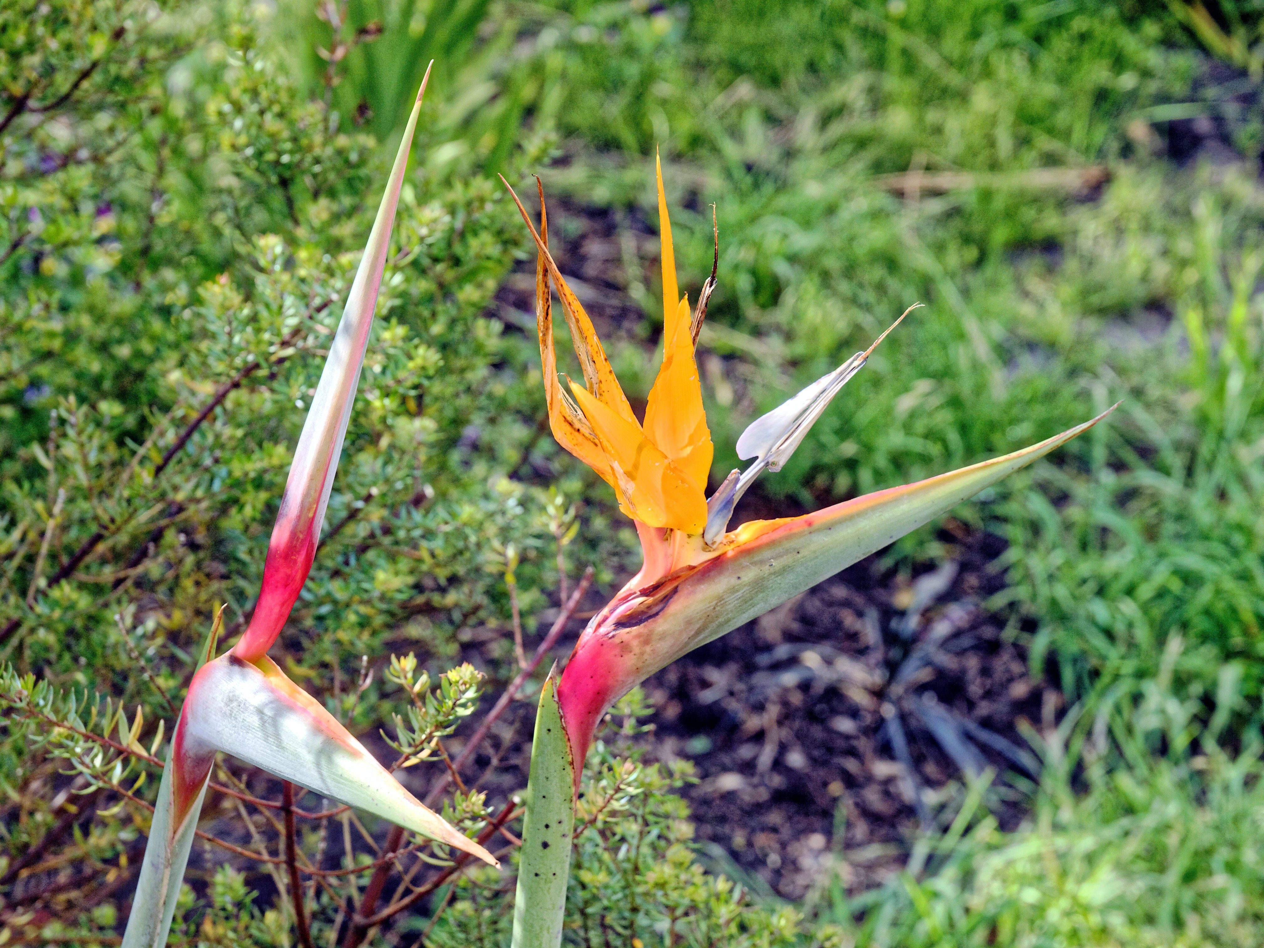 This should be Strelitzia-1.jpeg.  Is it missing?
