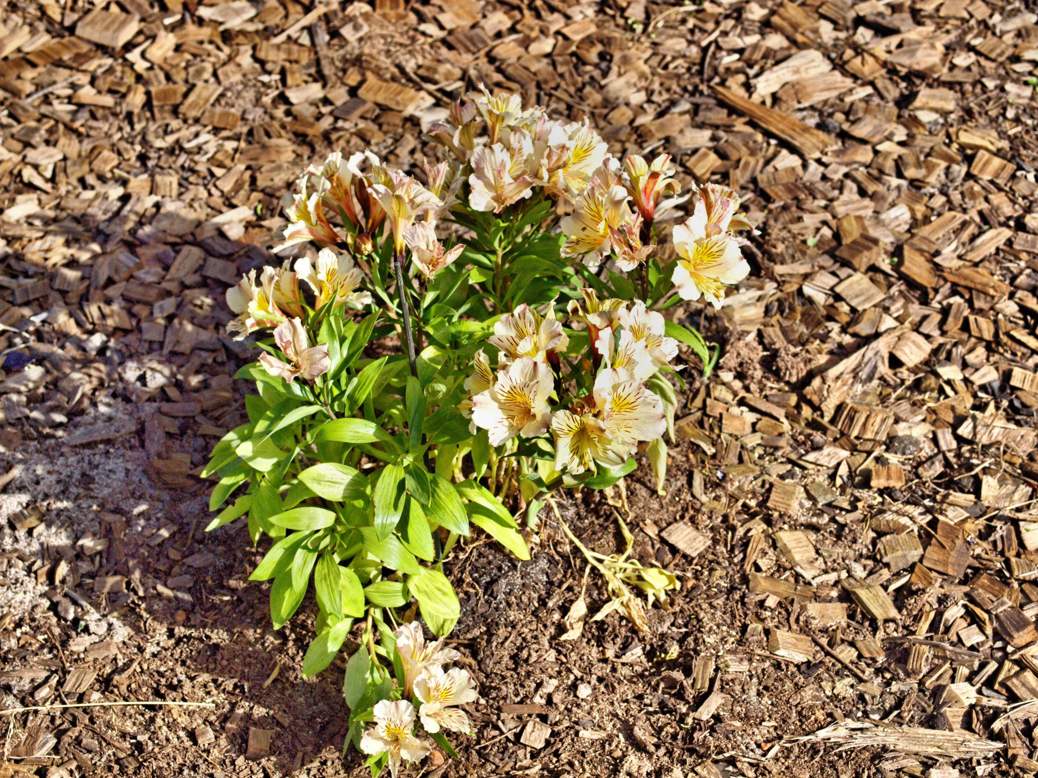 This should be Alstroemeria-4.jpeg.  Is it missing?