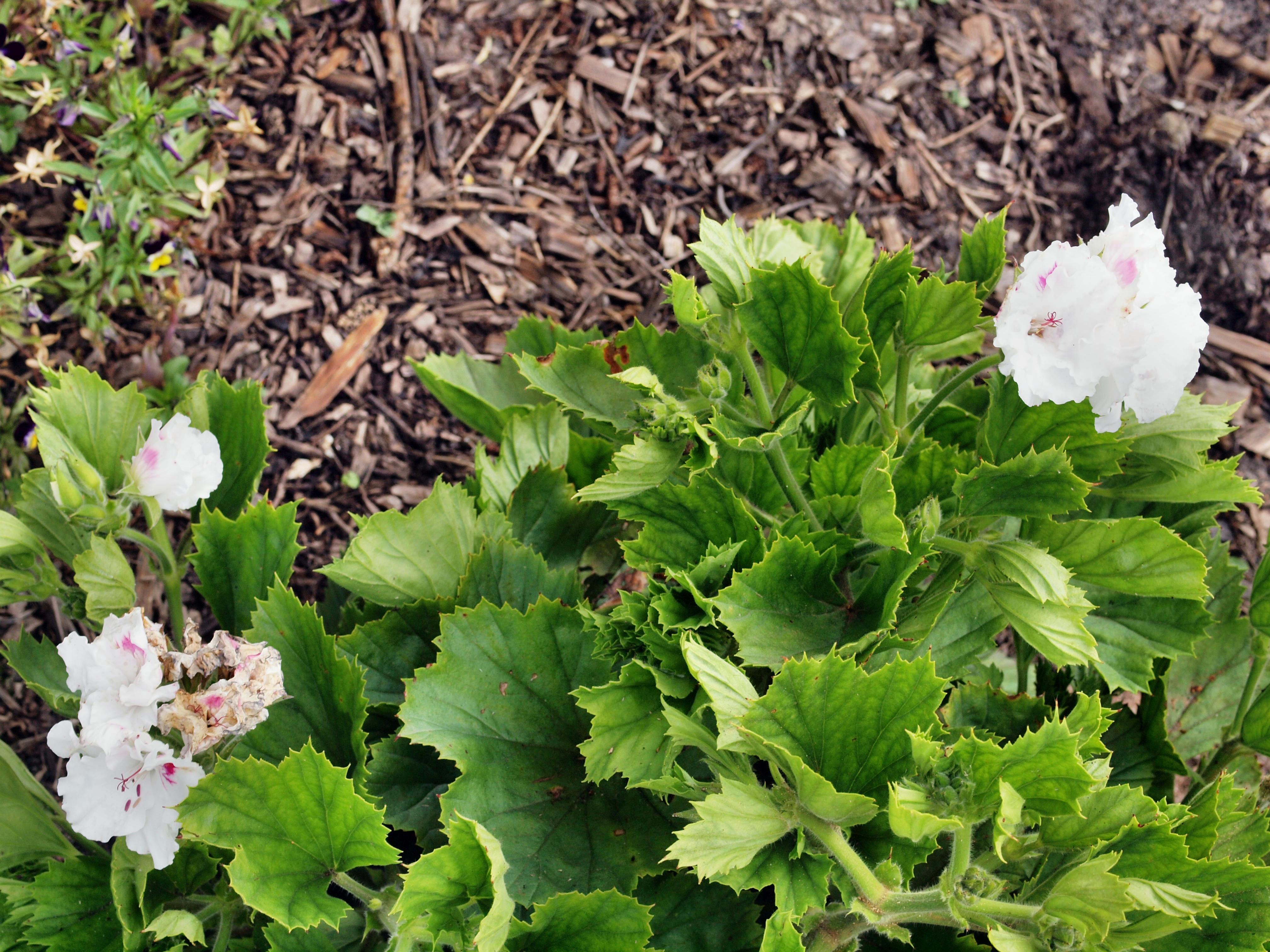 Pelargonium-12.jpeg