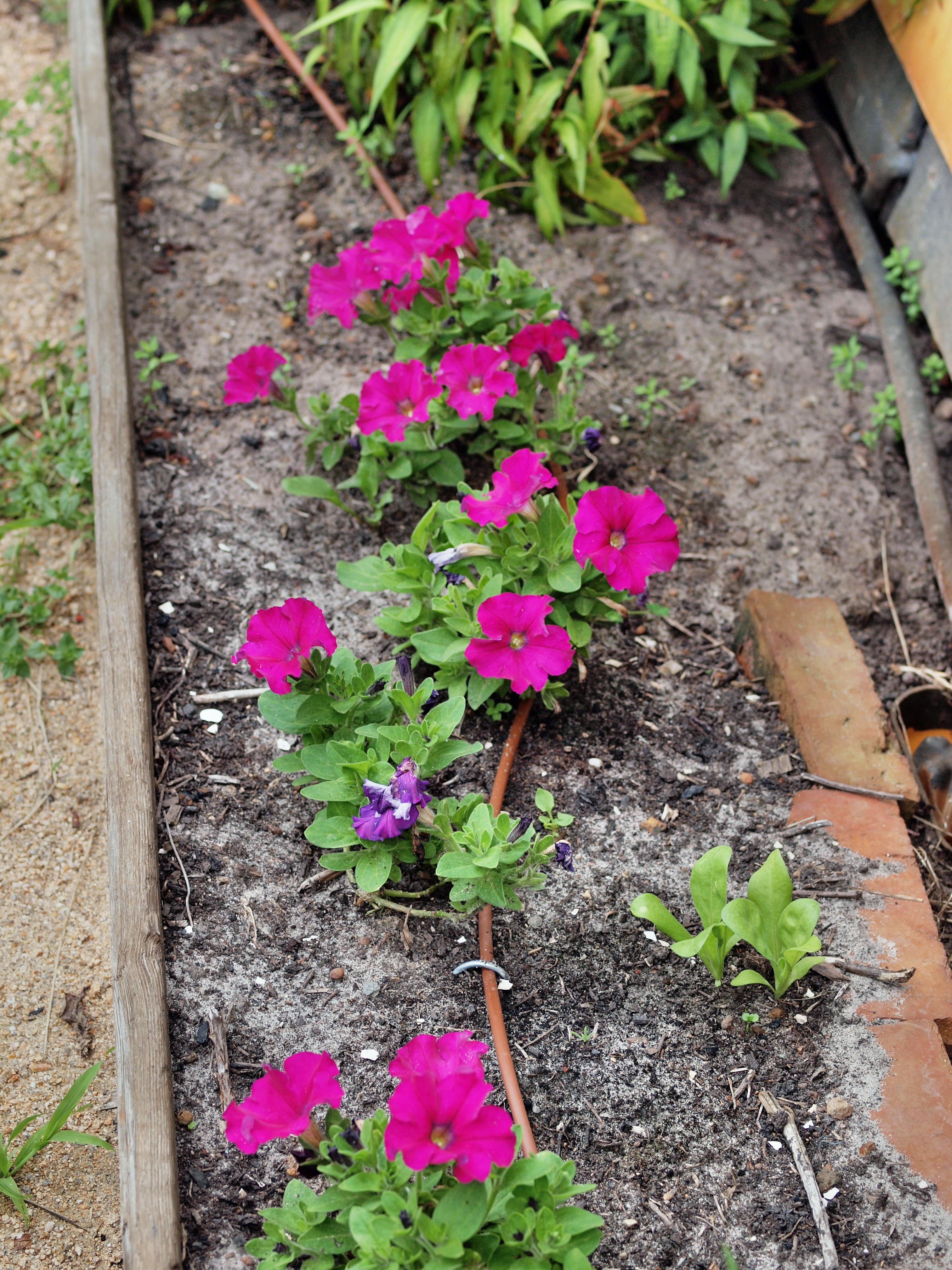 Petunias-1.jpeg