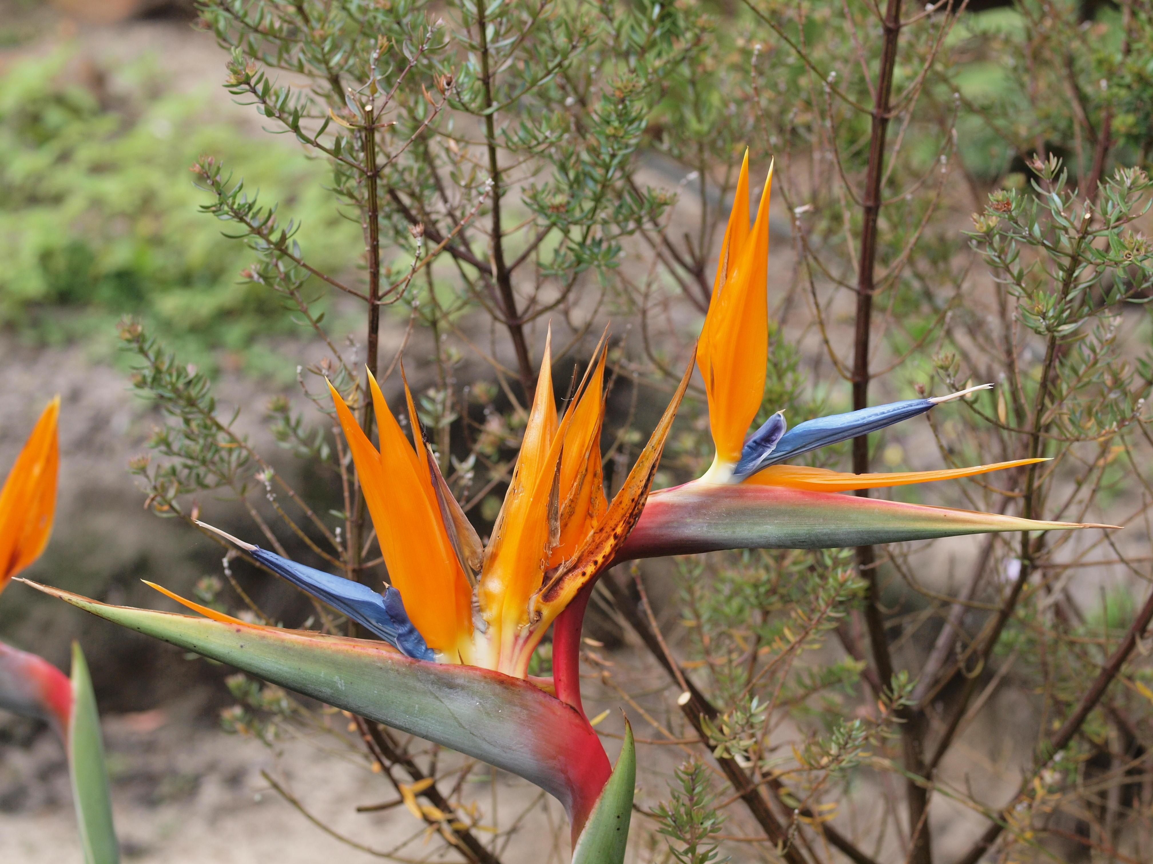 Strelitziae-reginae.jpeg