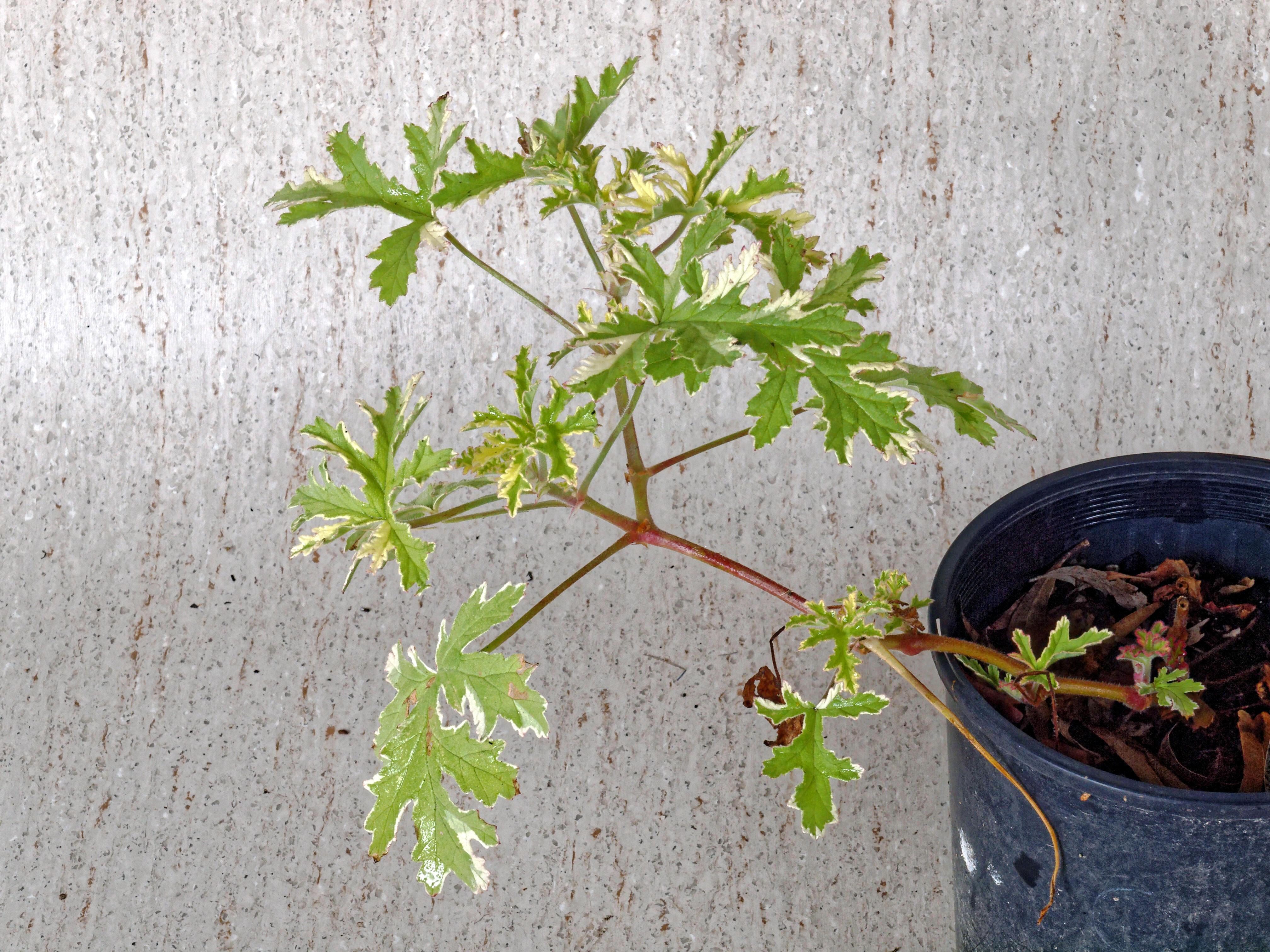 Pelargonium-2.jpeg