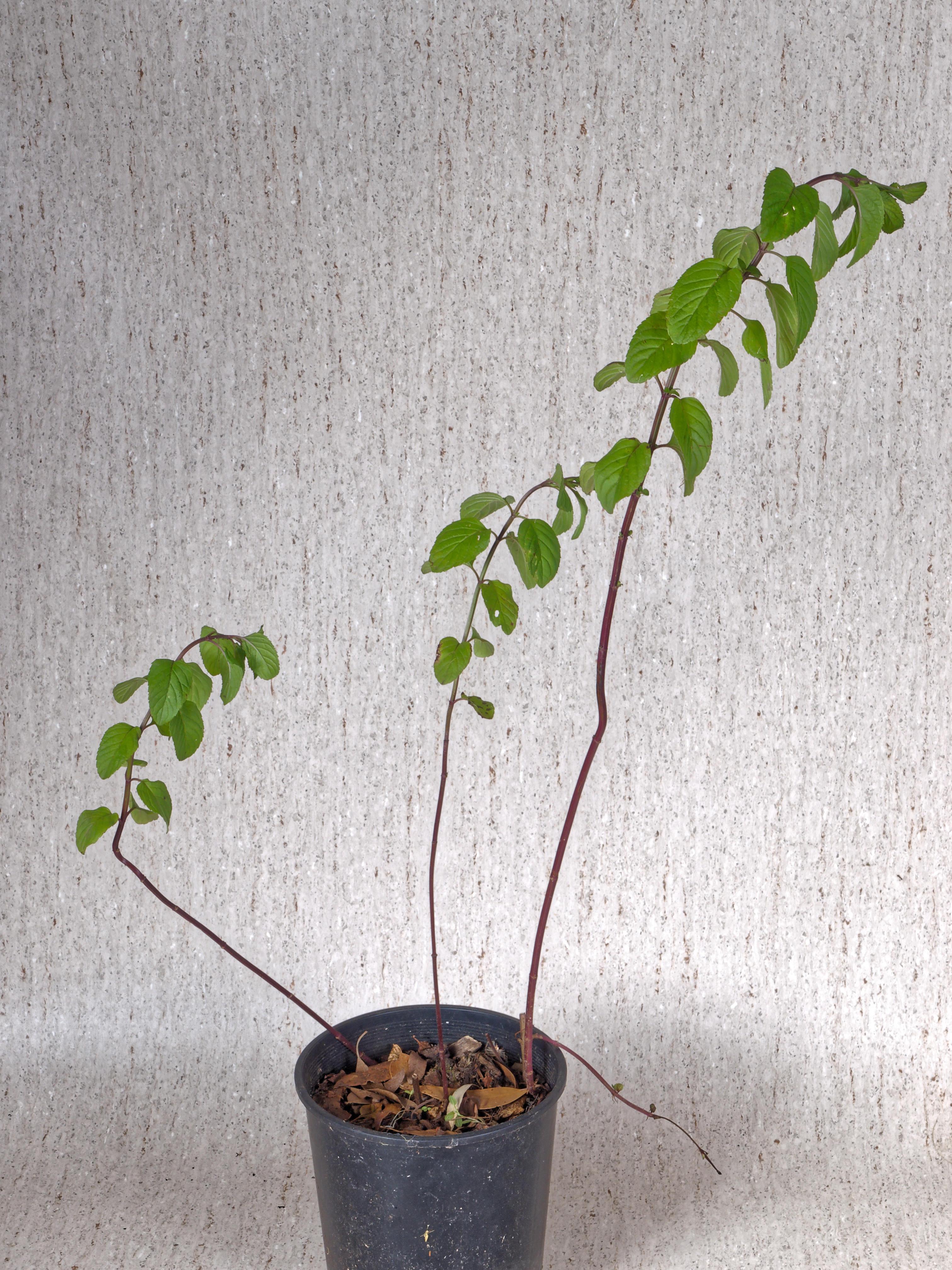 Salvia.jpeg
