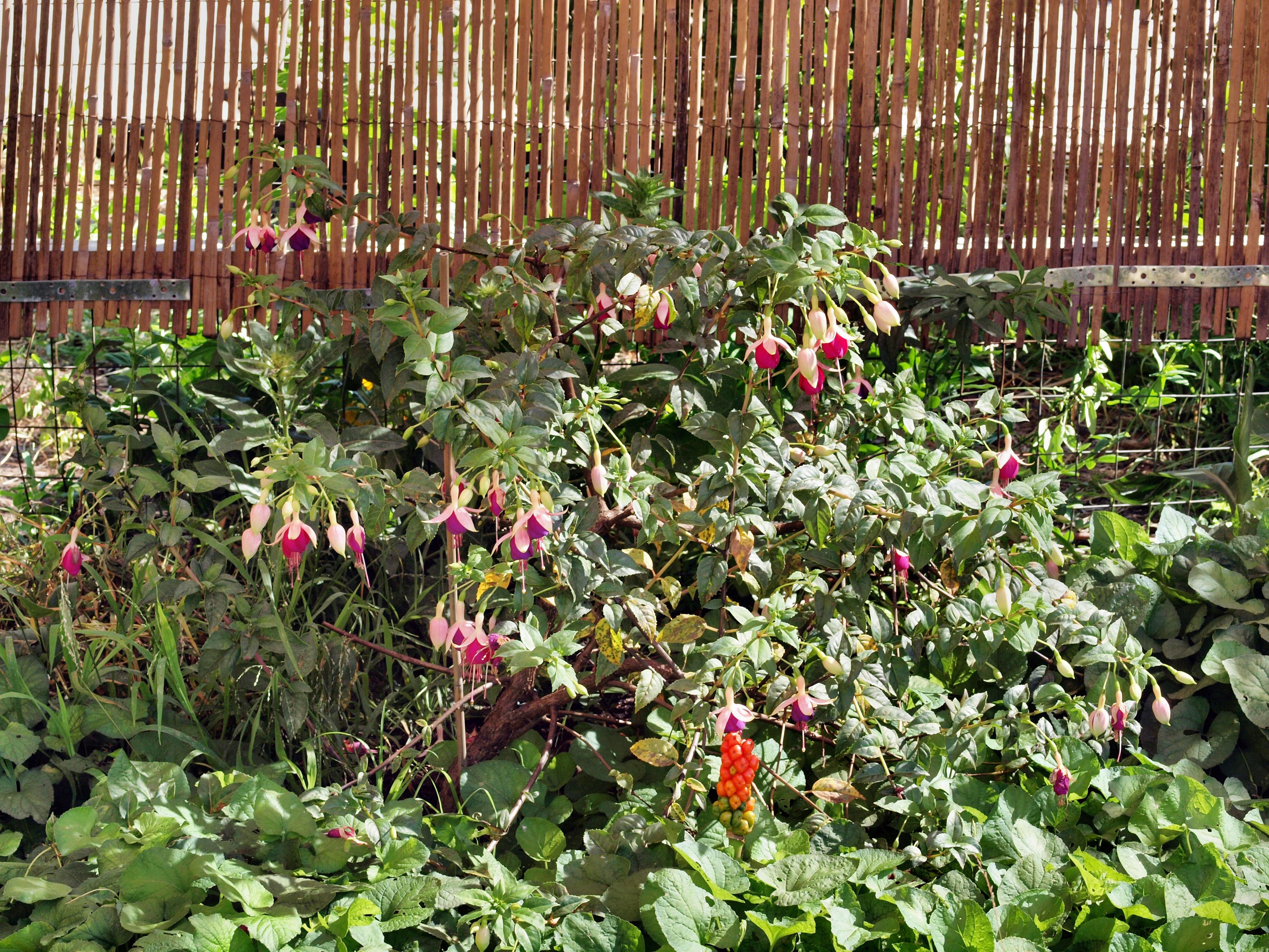 Fuchsia-1.jpeg