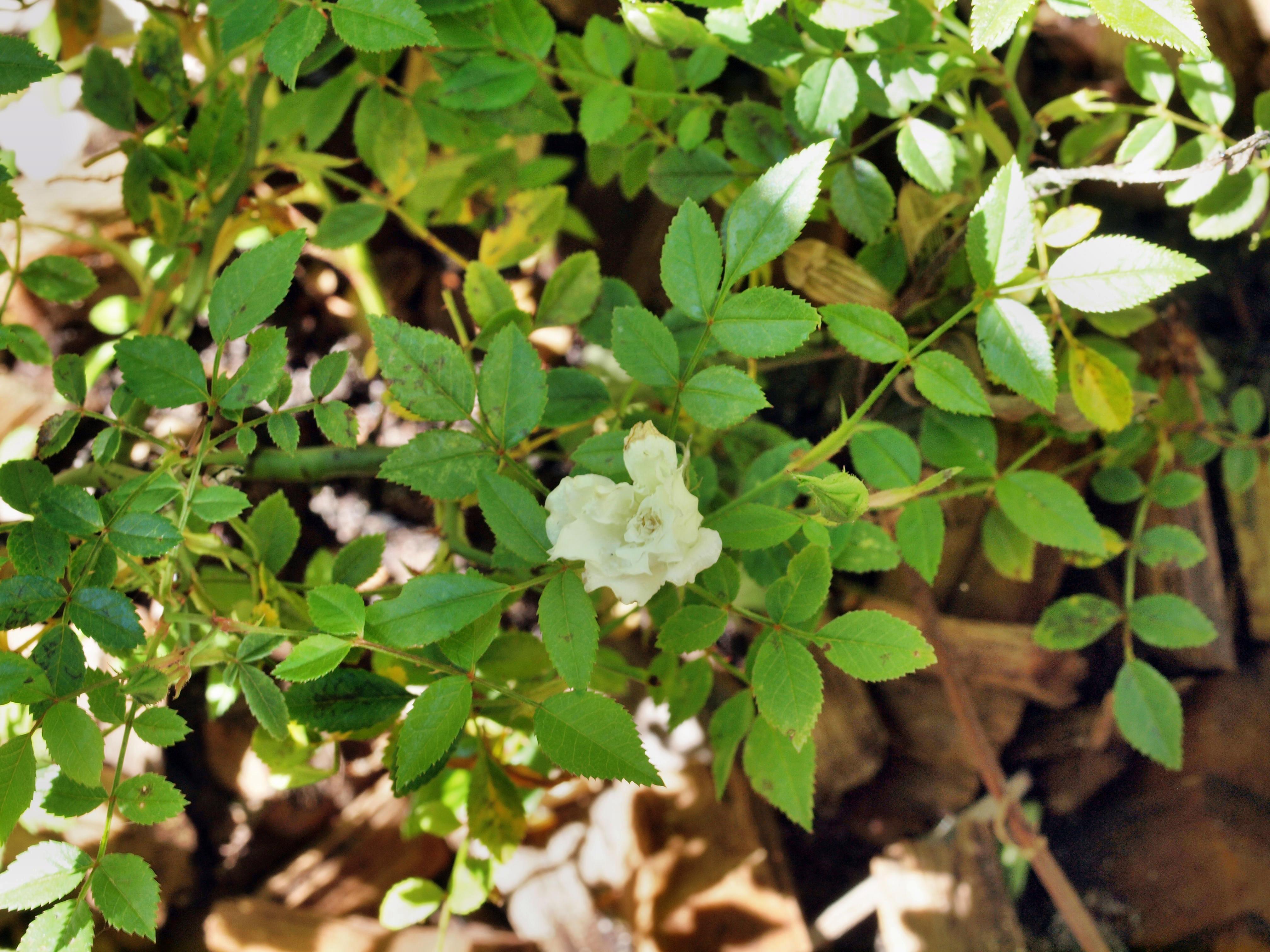 Mini-rose-1.jpeg