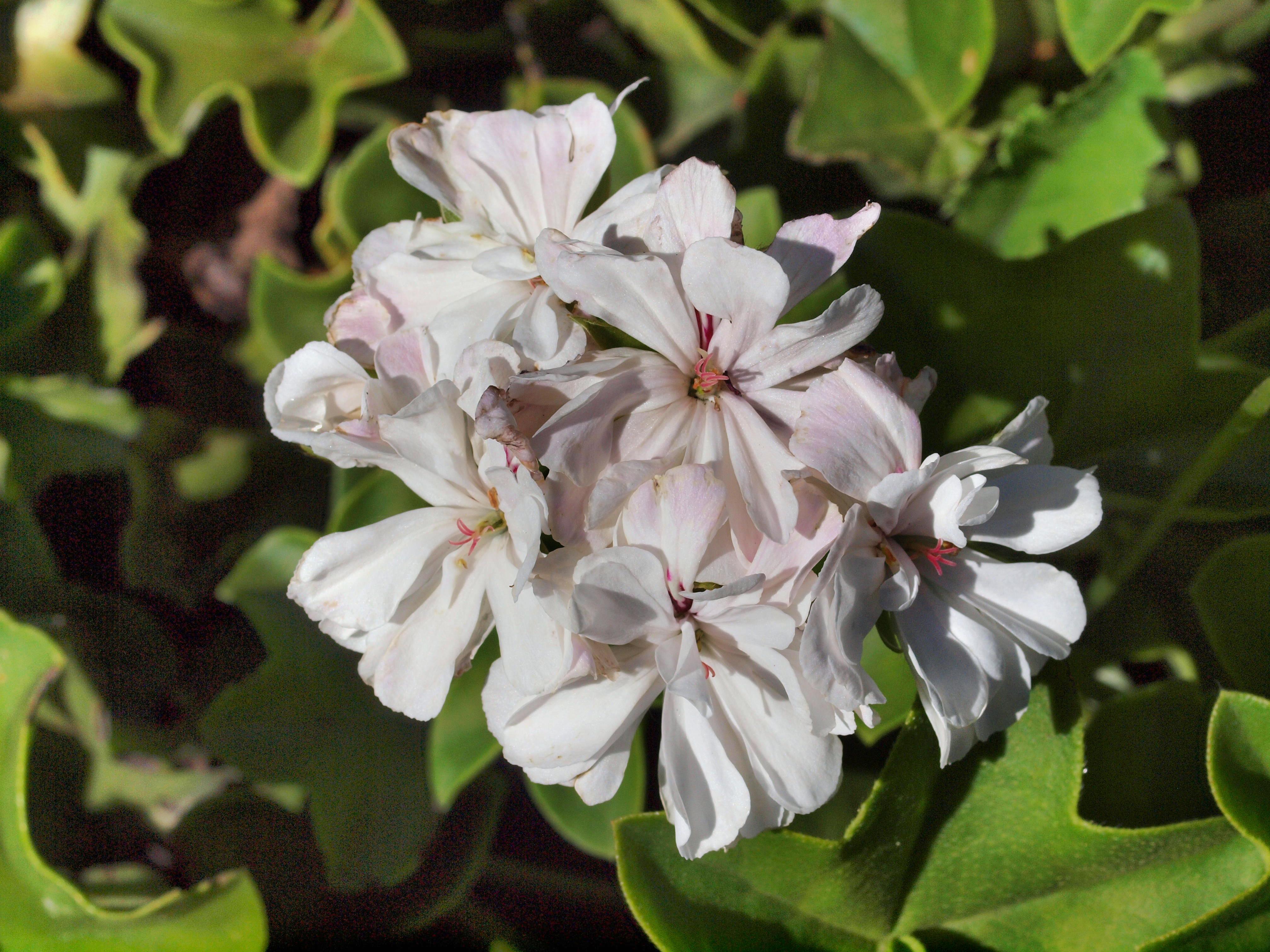 Pelargonium-6.jpeg
