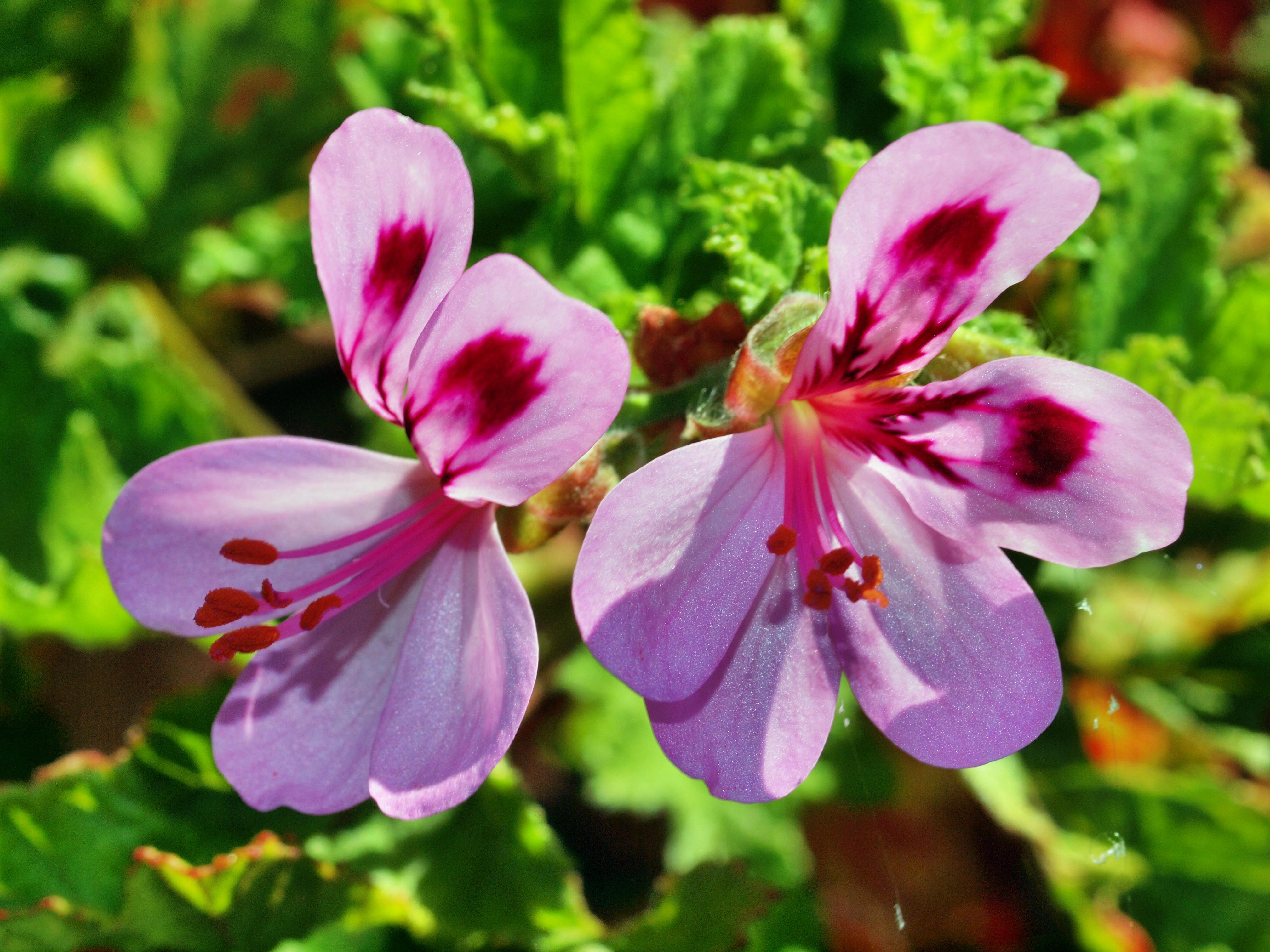 Pelargonium-7.jpeg