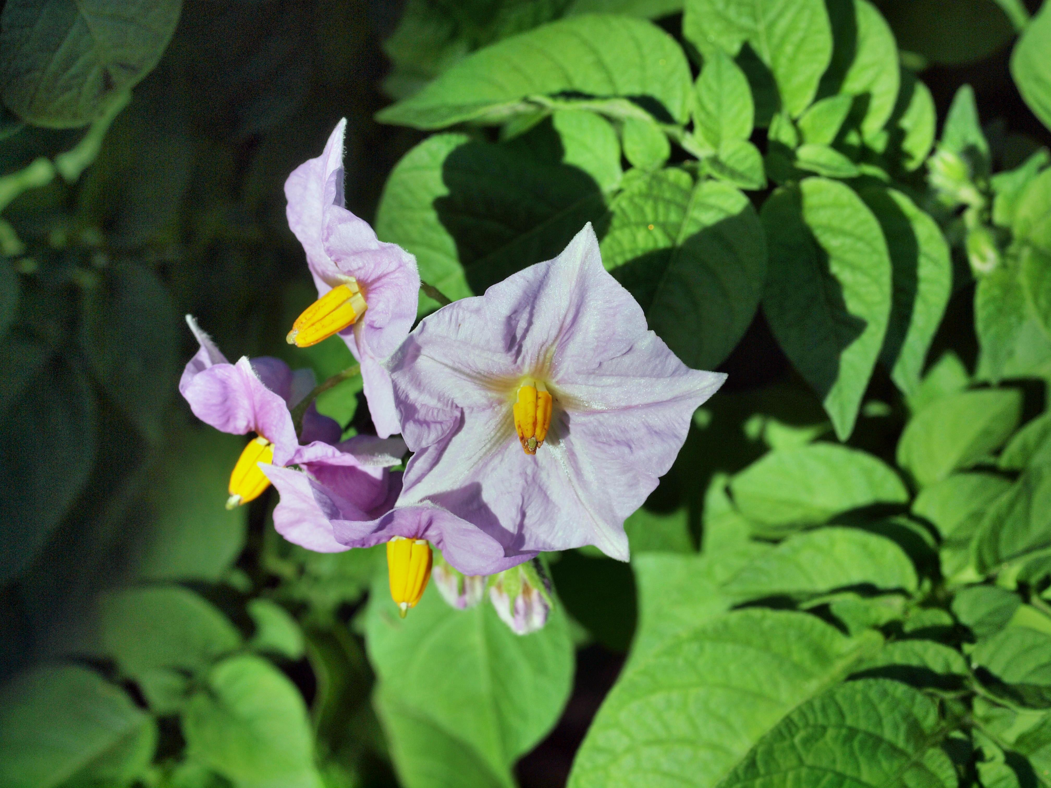 Solanum-tuberosum-1.jpeg