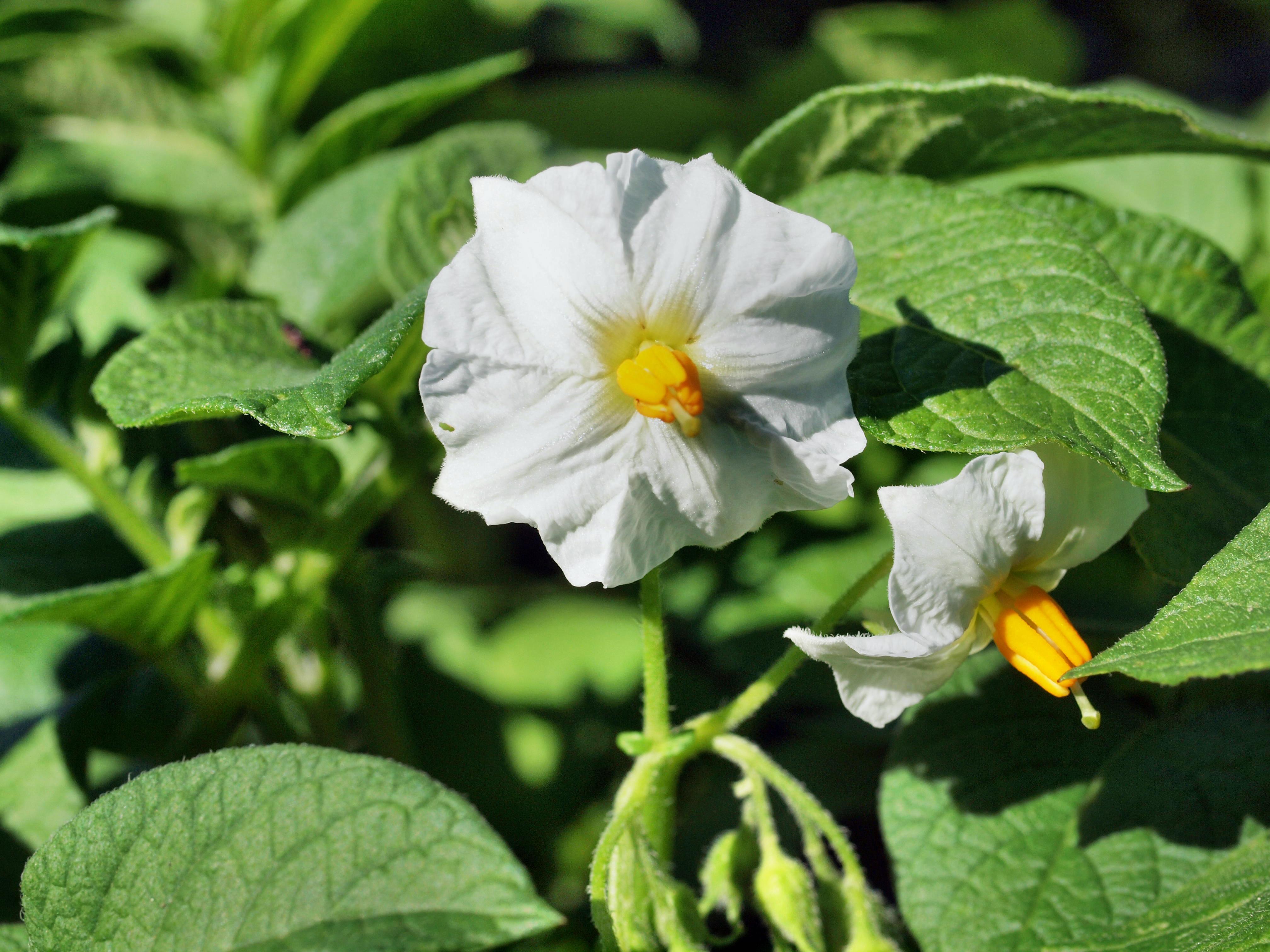 Solanum-tuberosum-2.jpeg