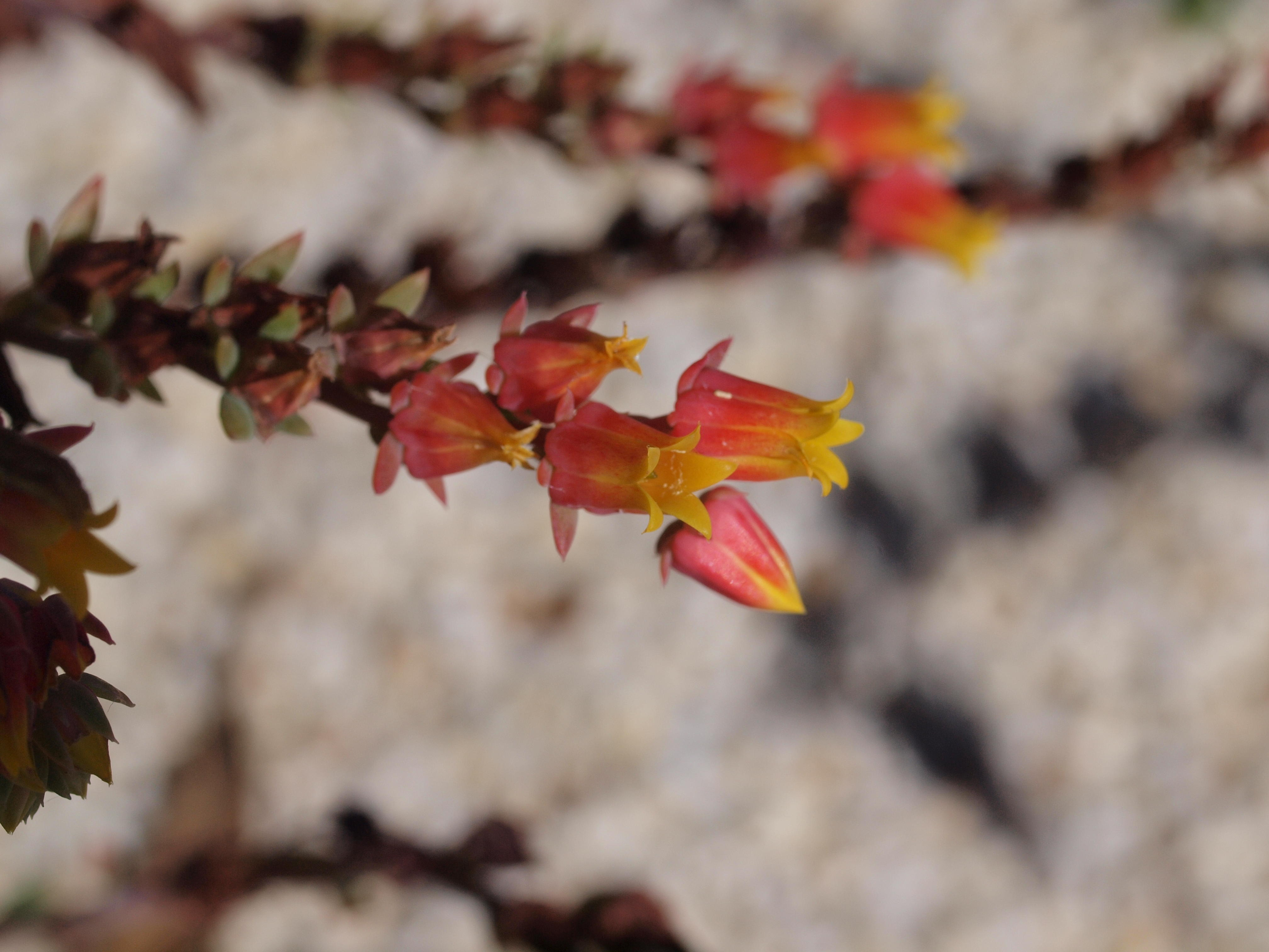 Succulent-flower-3.jpeg